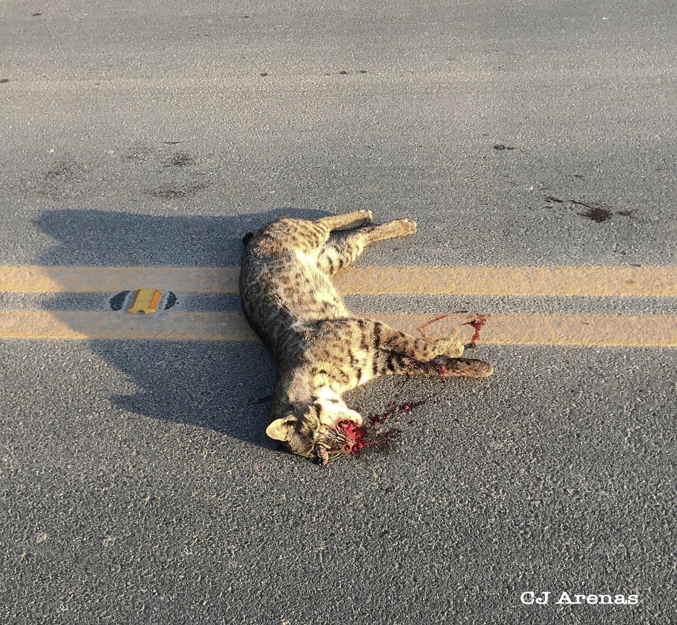 dead bobcat.jpg