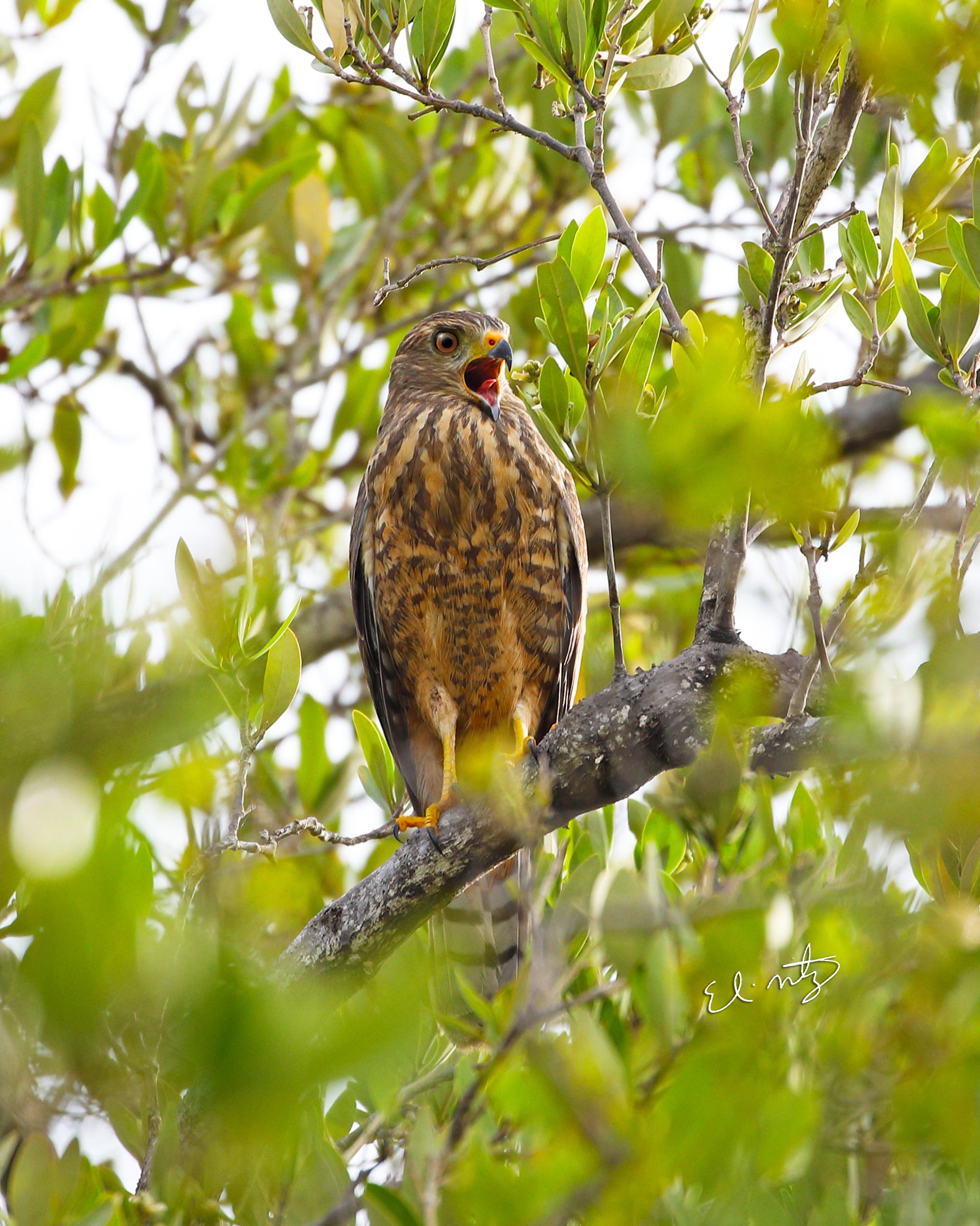 roadside hawk 4.jpg
