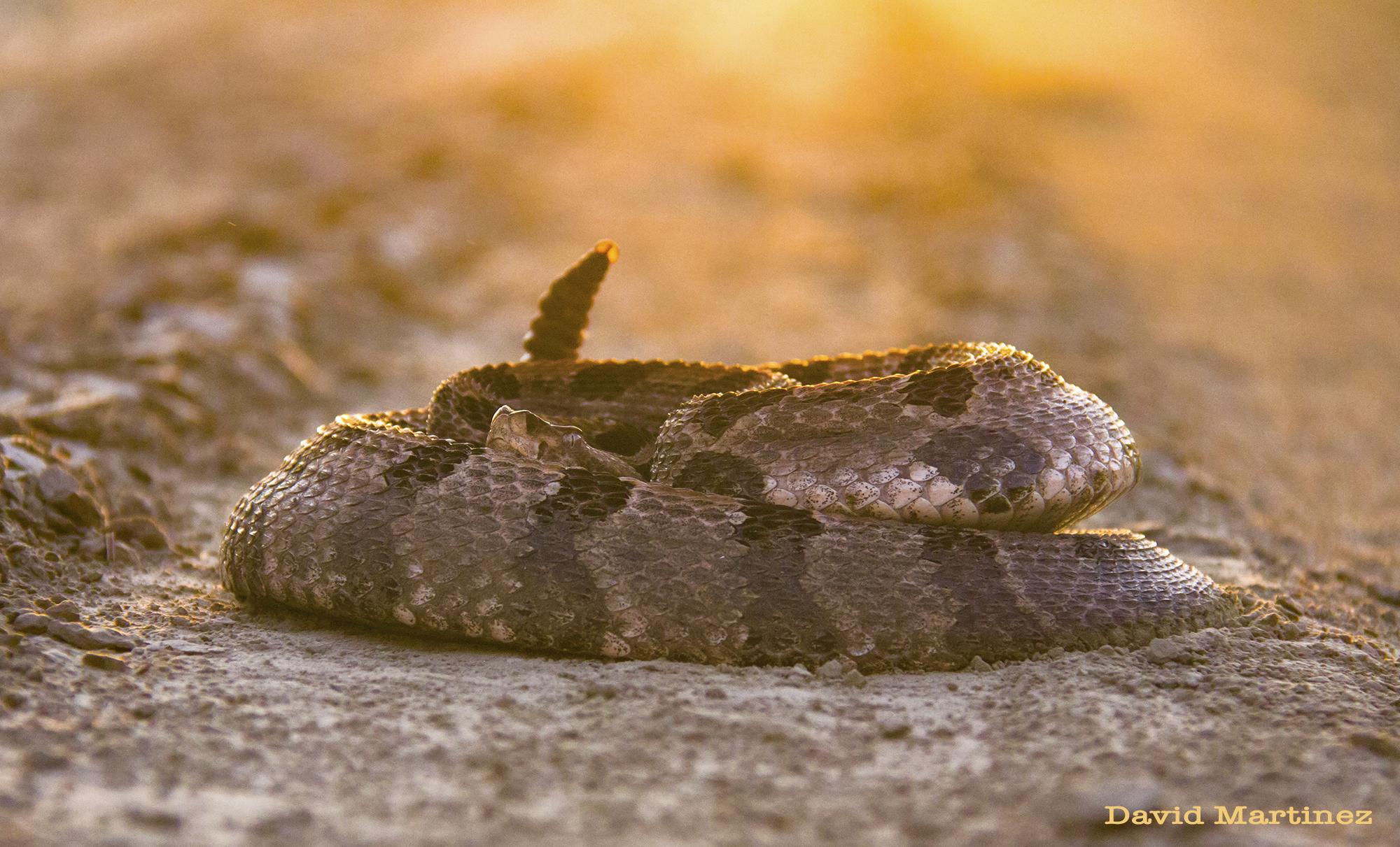 timber snake 2.jpg