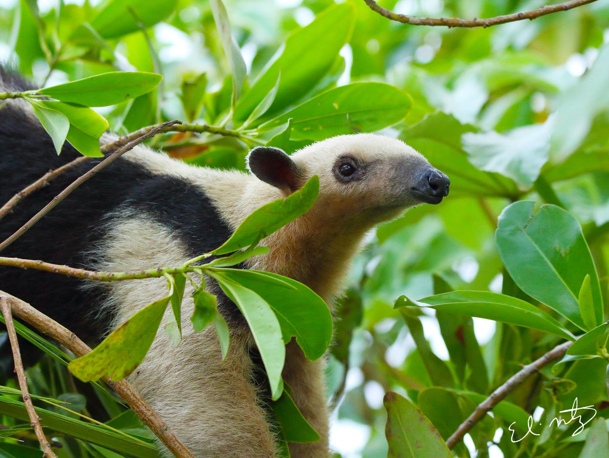anteater 3.jpg