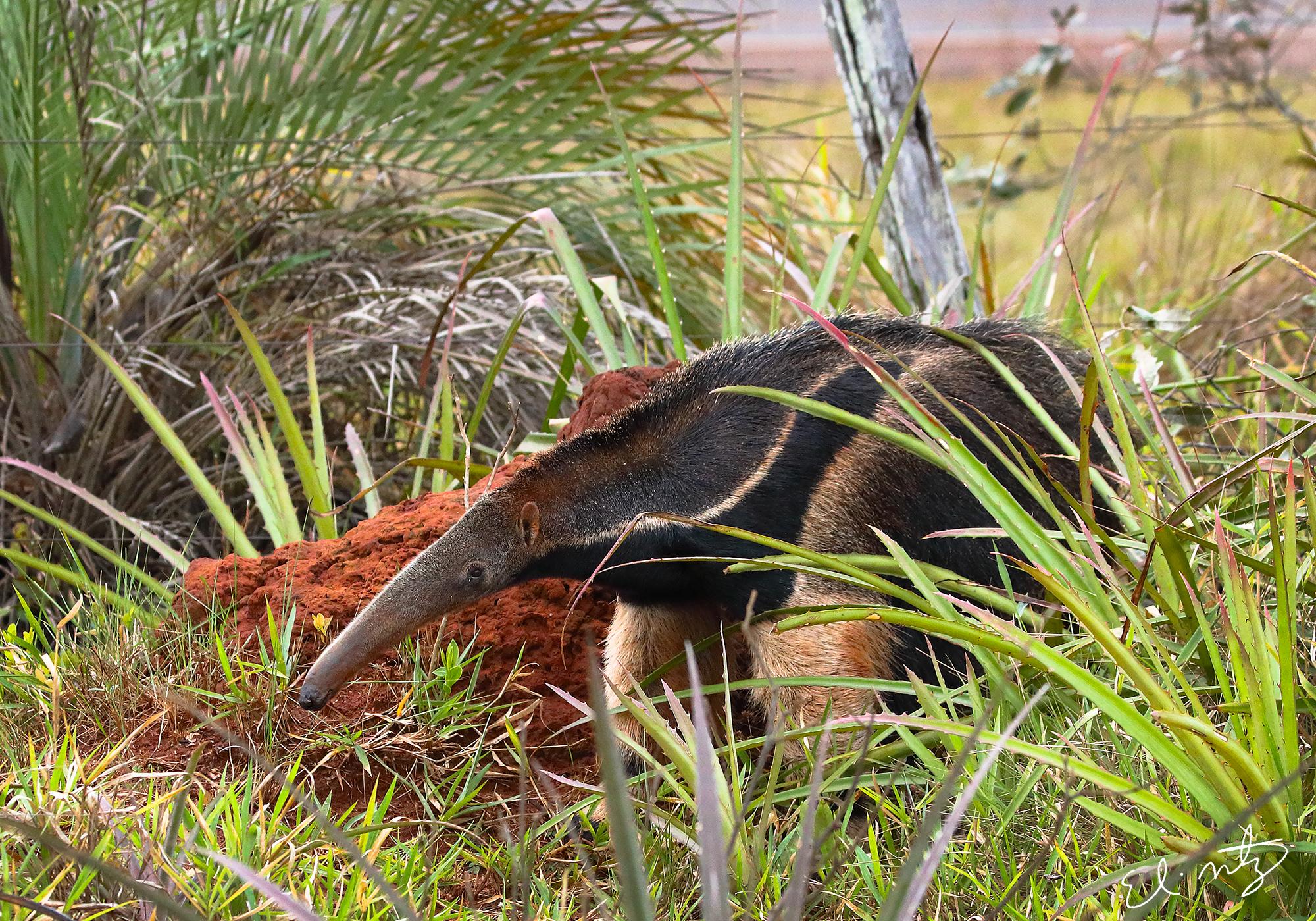 giant anteater.jpg