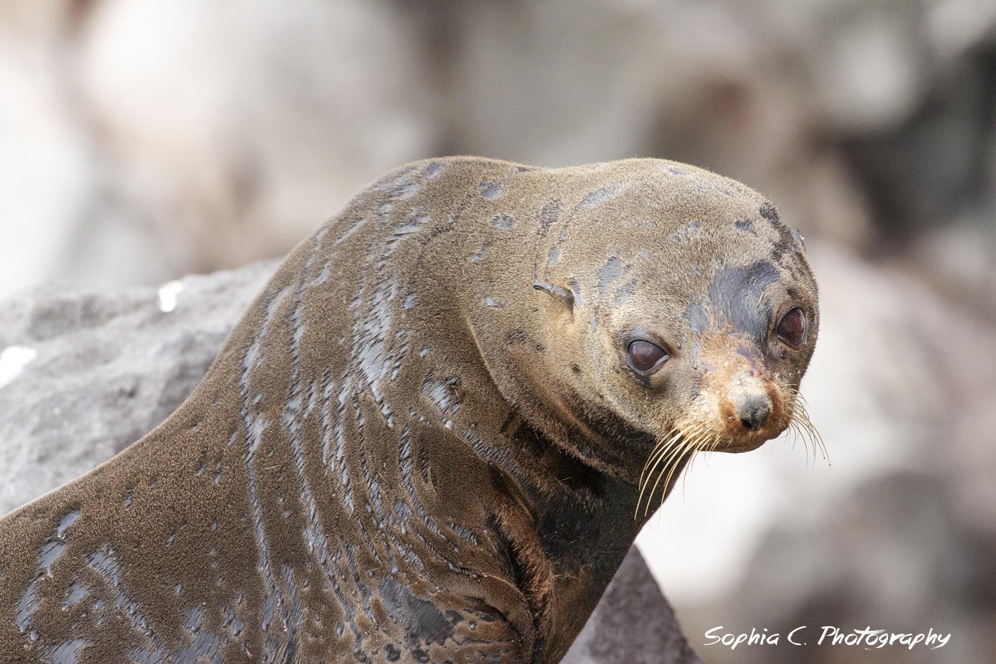 guadalupe fur seal.jpg
