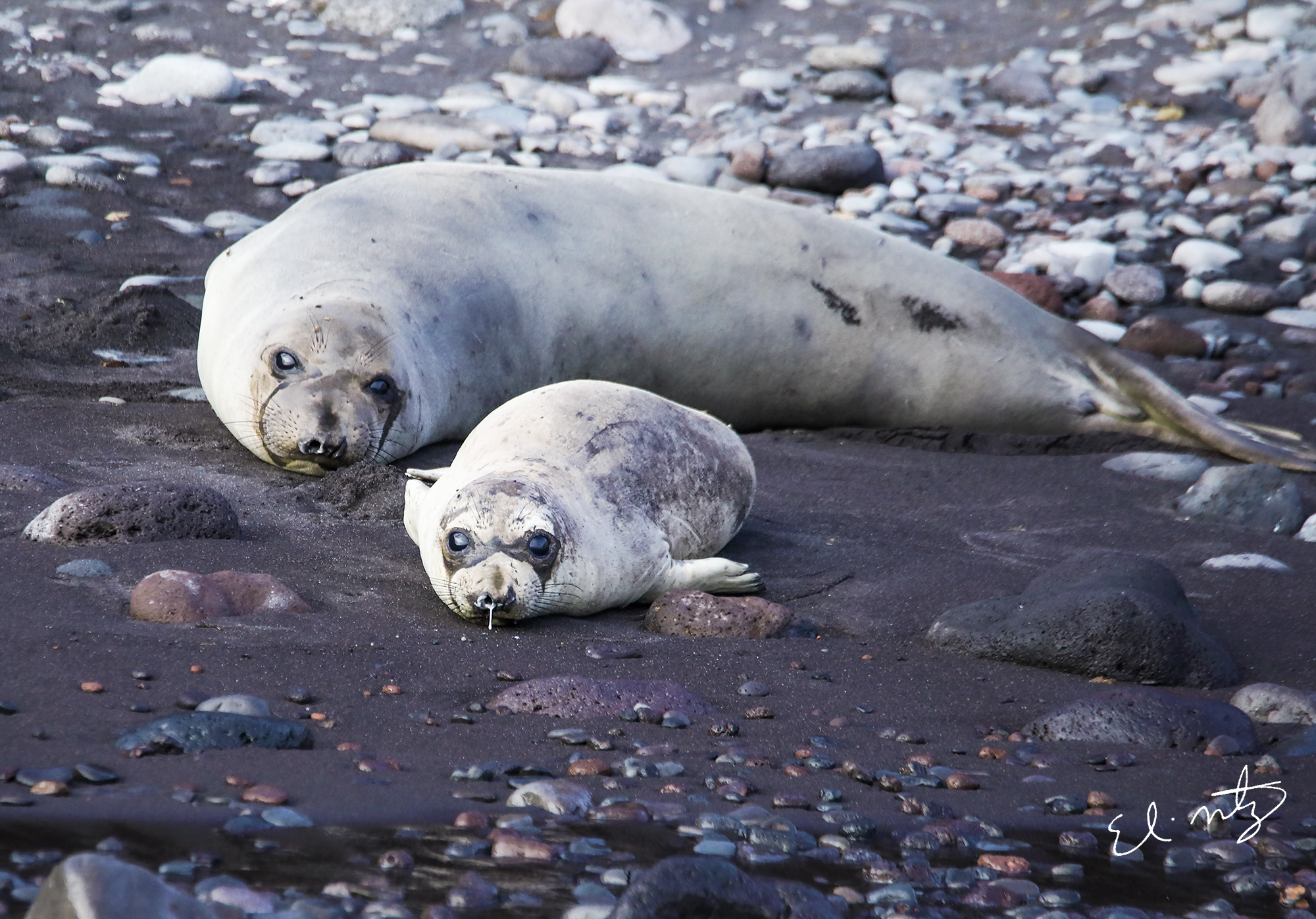 elephant seal 4.jpg