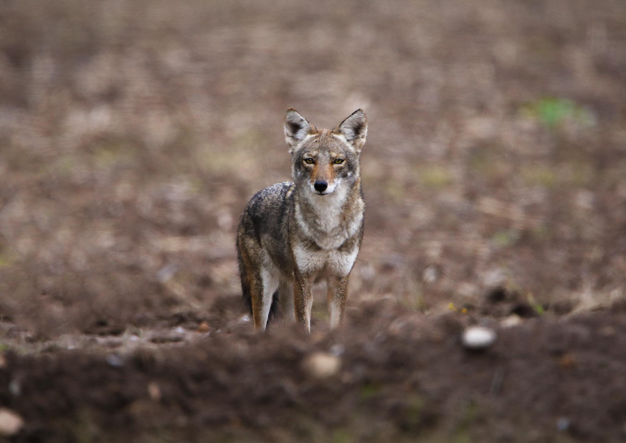 coyote 5.jpg