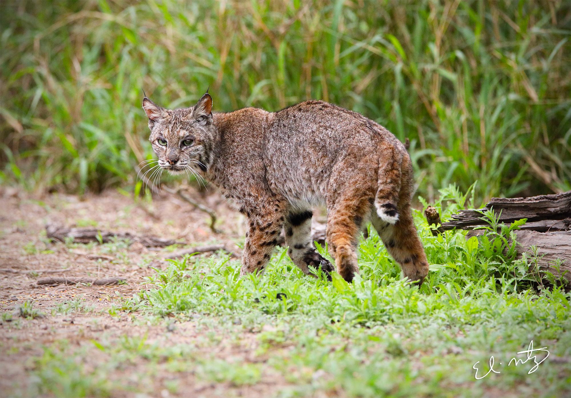 bobcat 6.jpg