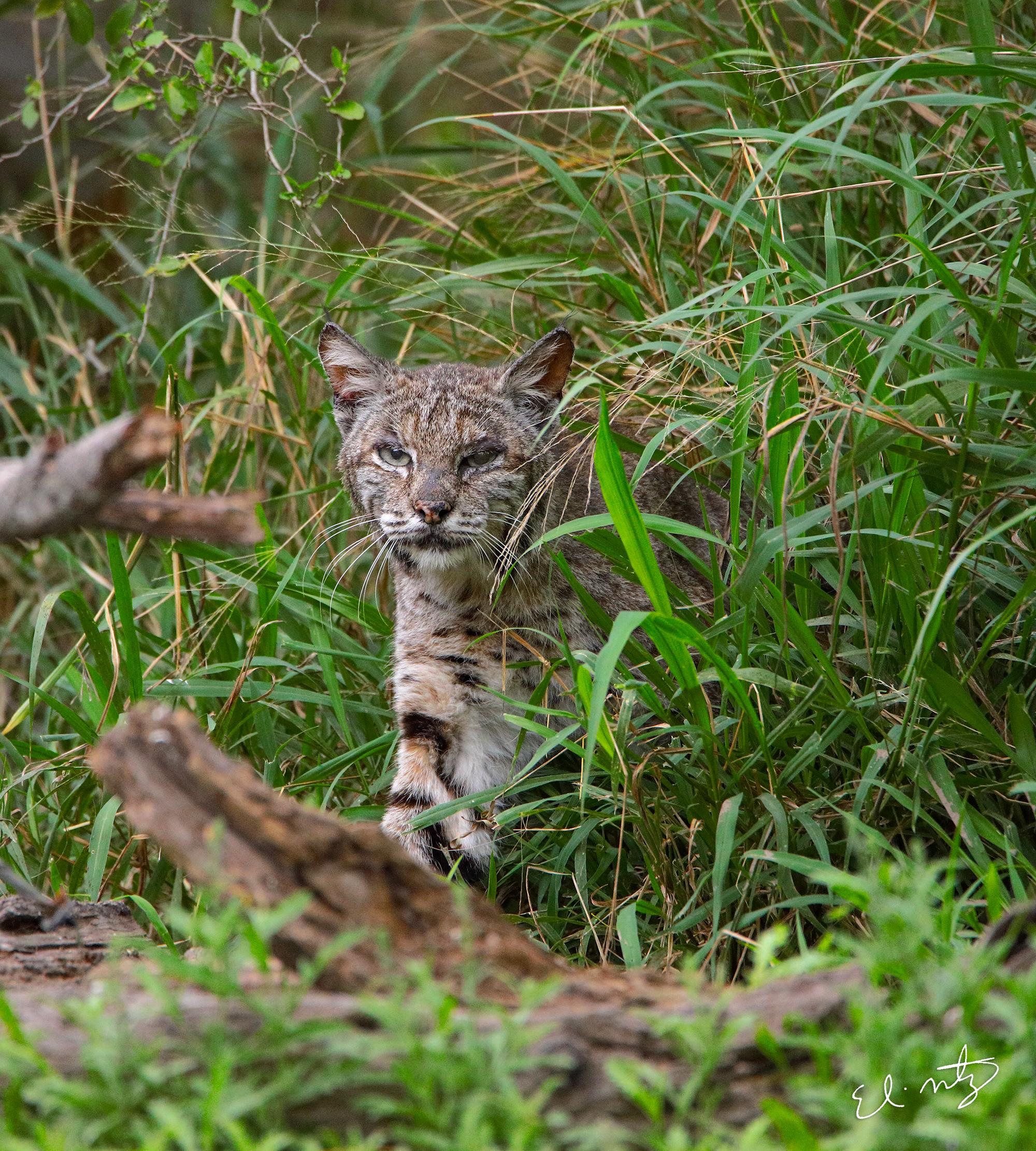bobcats 4.jpg