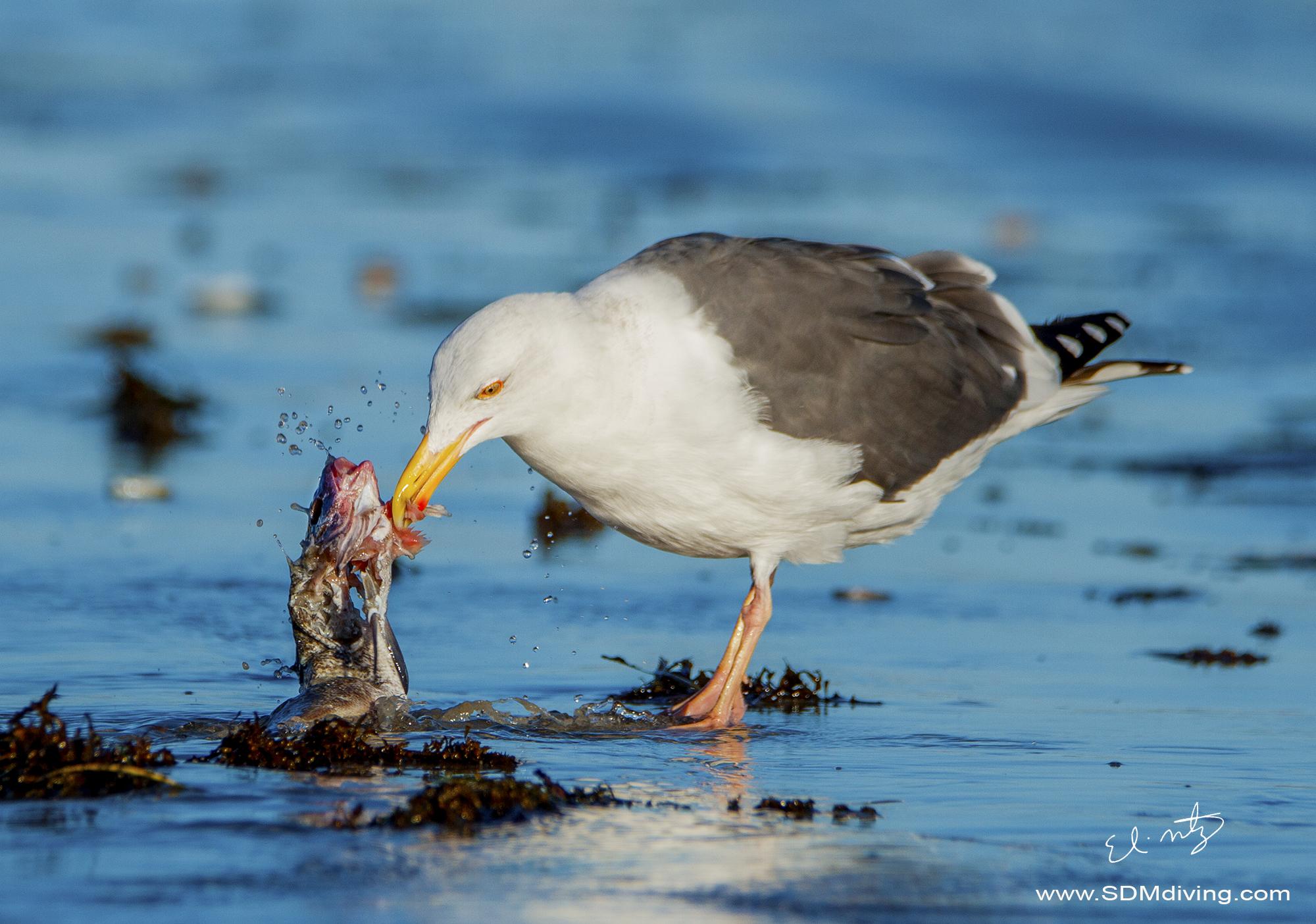 california seagull.jpg