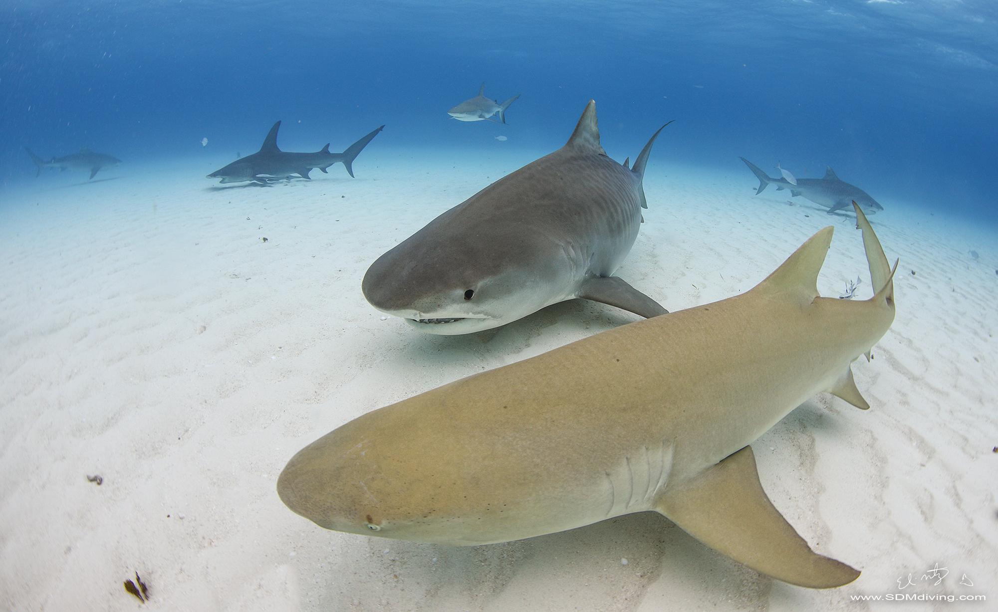 tiger shark lemon shark.jpg
