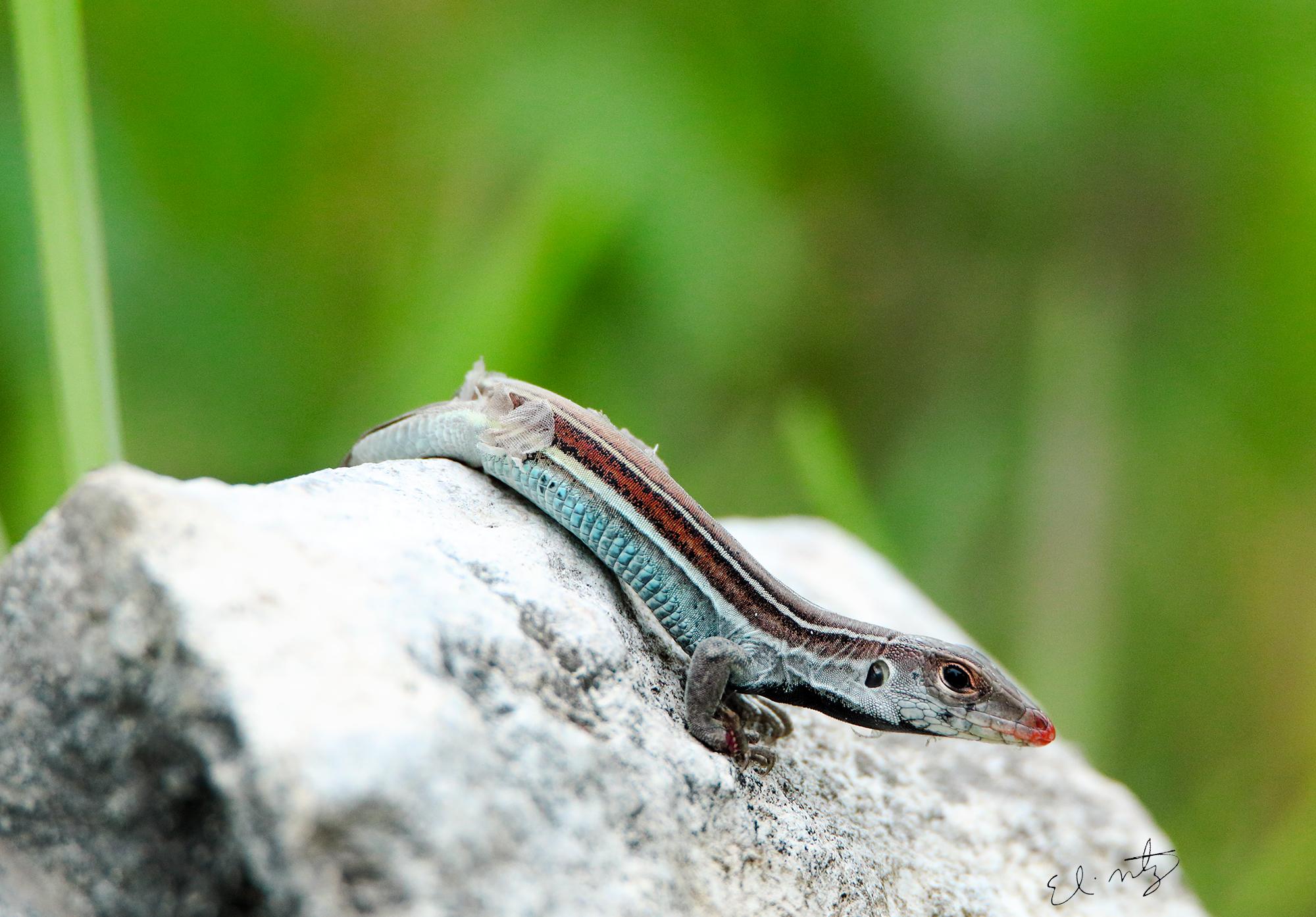 racerback lizard.jpg