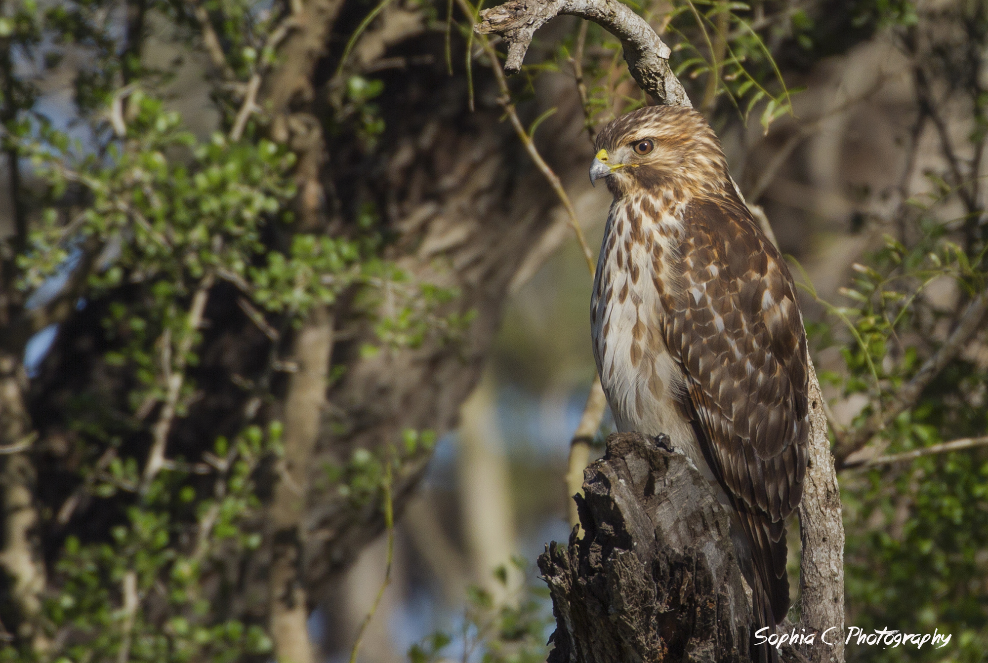 Broad-winged hawk, photographed by Sophia.