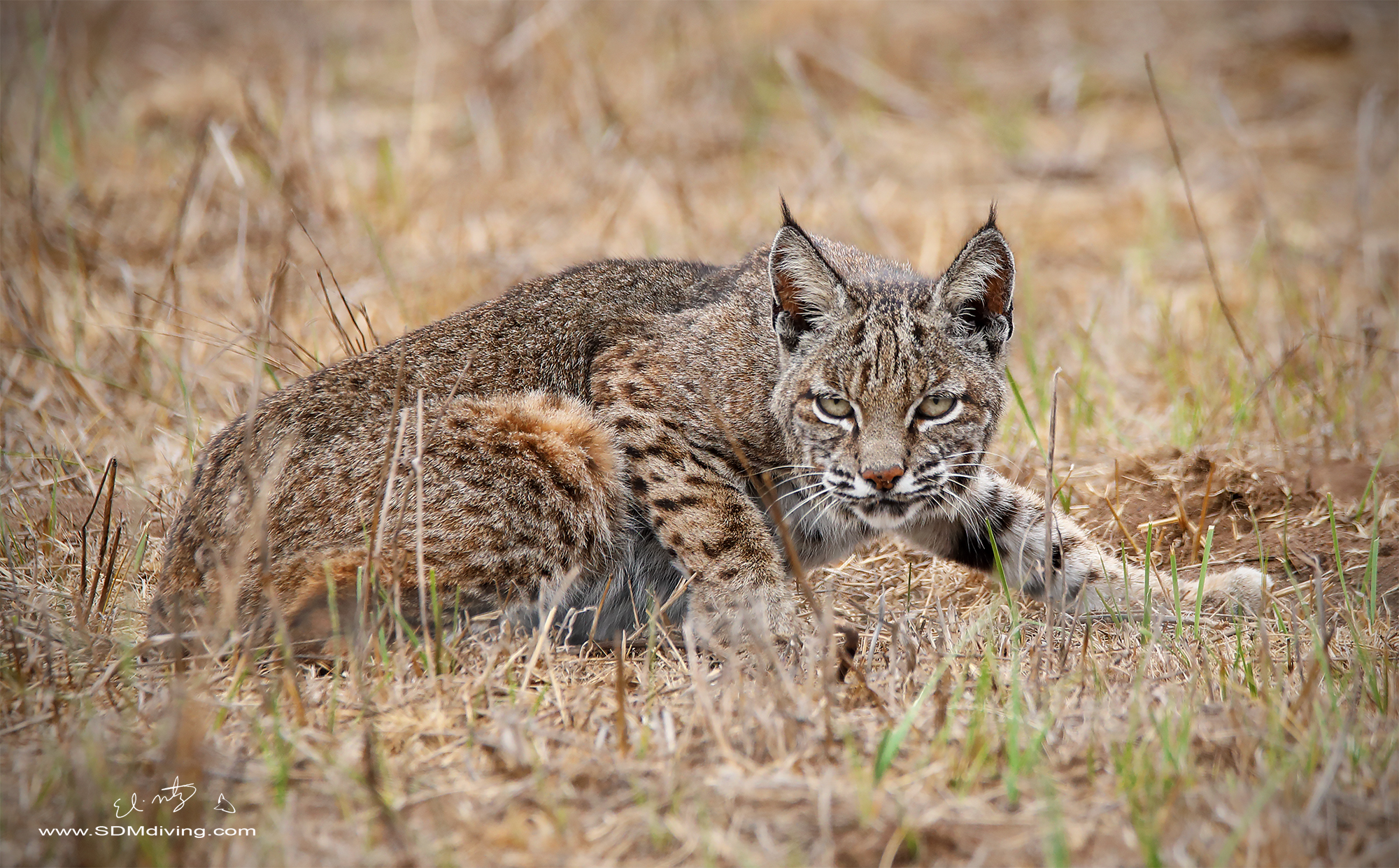 bobcat stalk 3.jpg