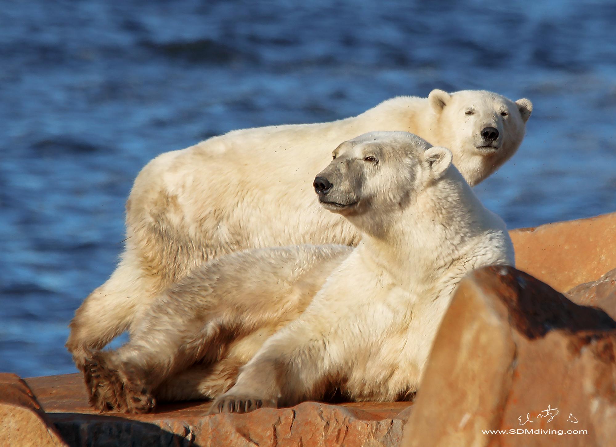 polar bear 2 2.jpg