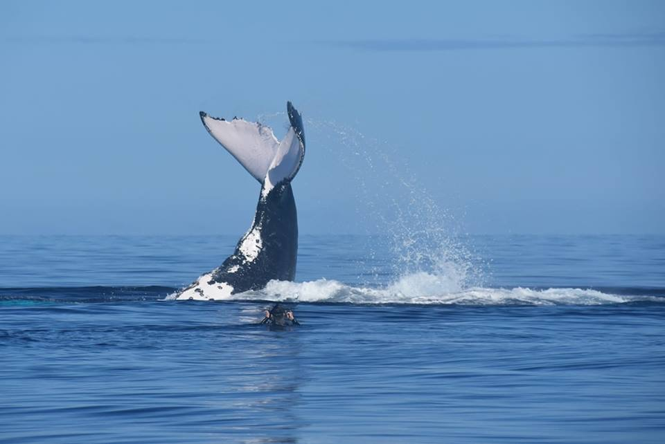 Big male trying to impress a nearby female humpback. Incredible image by our good friend Vicki Bennett.