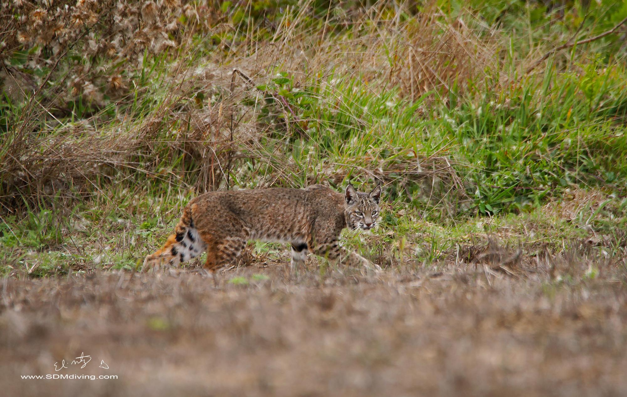 bobcat stalk.jpg