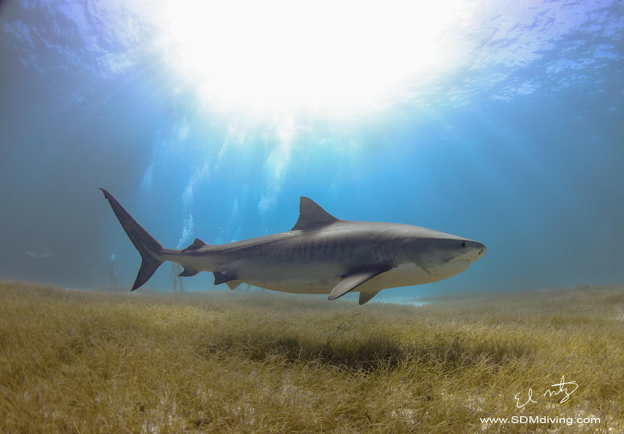 tiger shark 2.jpg