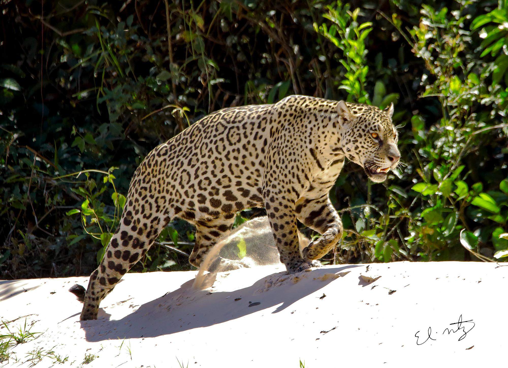 jaguar 6.jpg