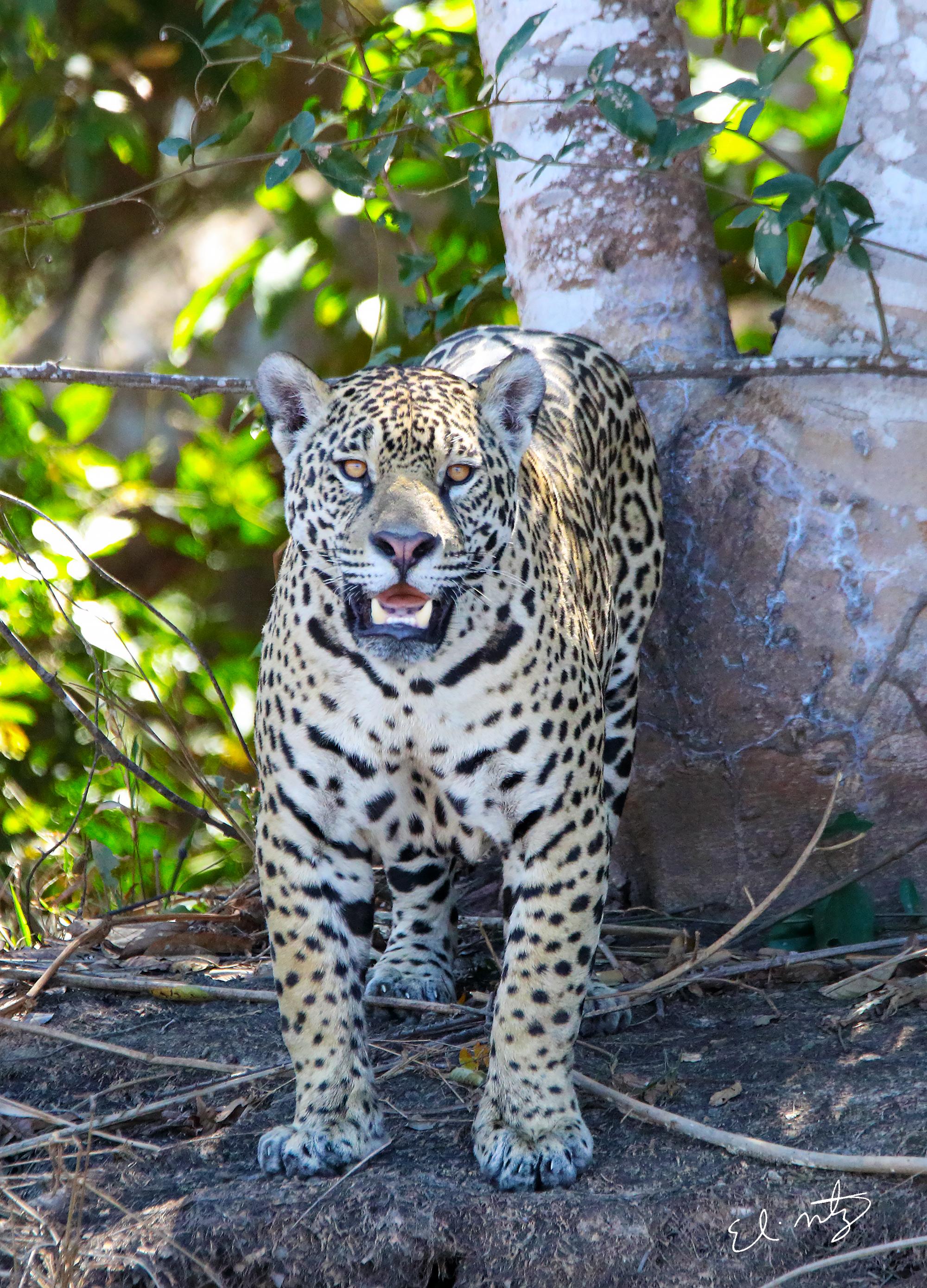 jaguar 7.jpg