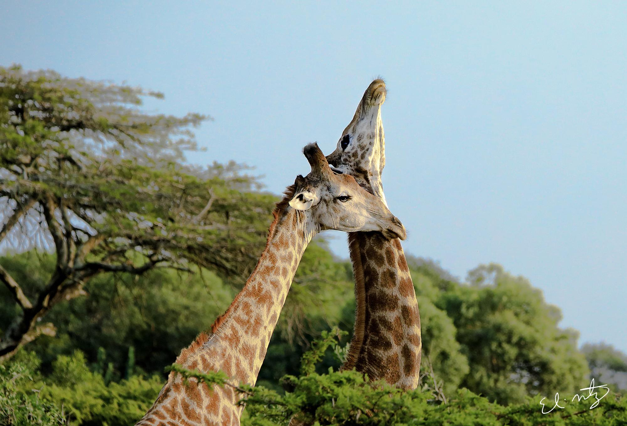 giraffees.jpg
