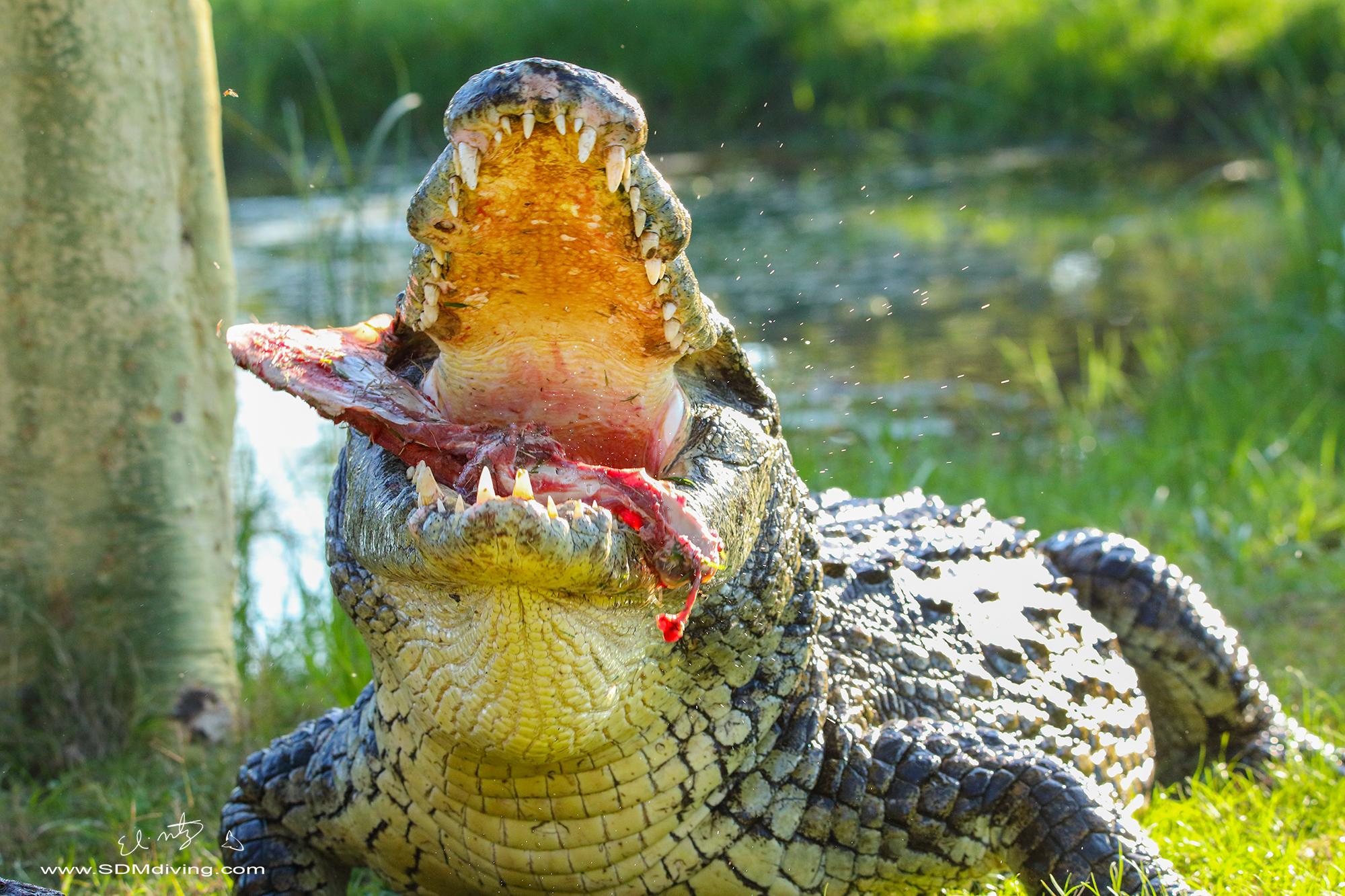 nile croc 3.jpg