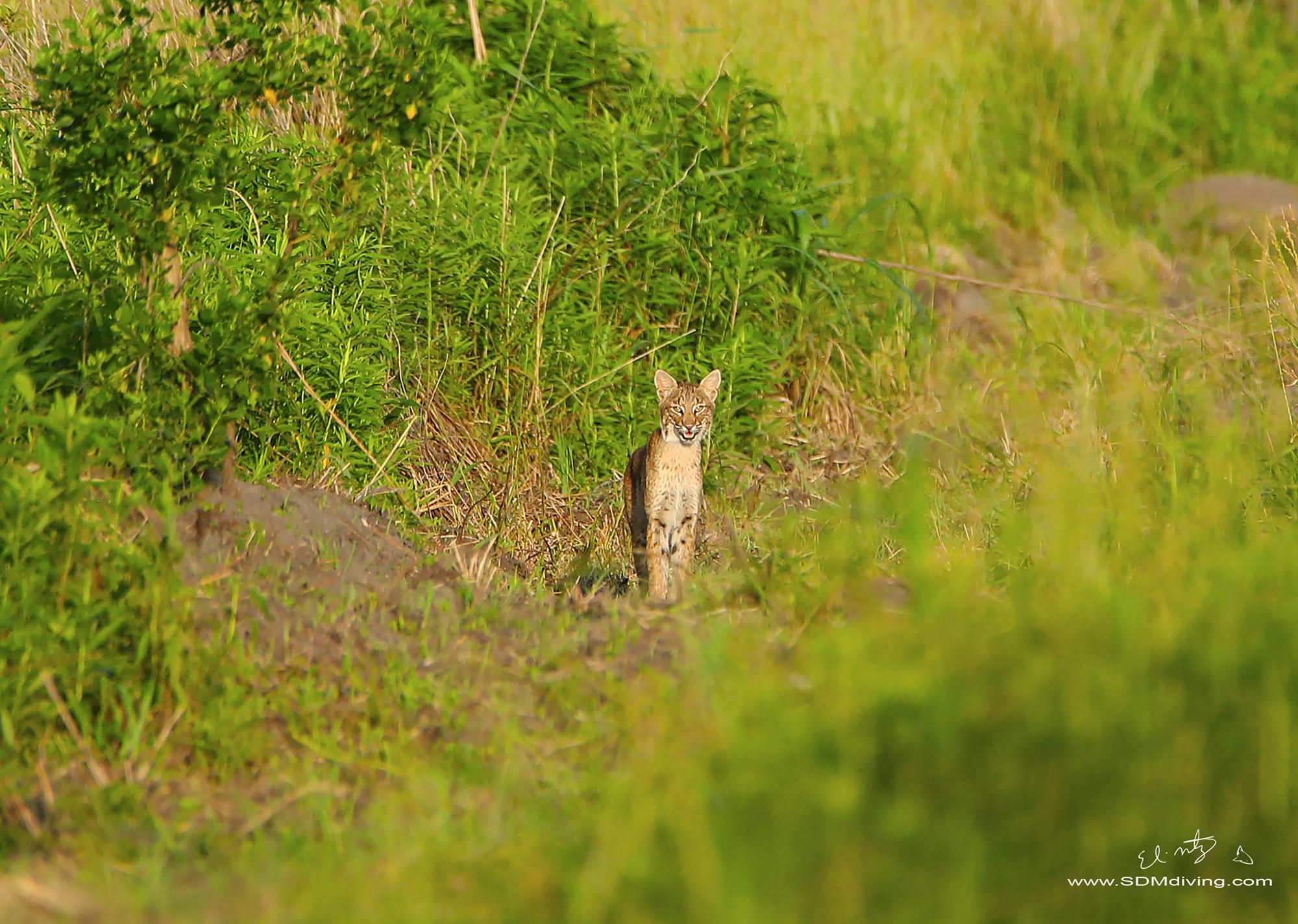 bobcat 5.jpg