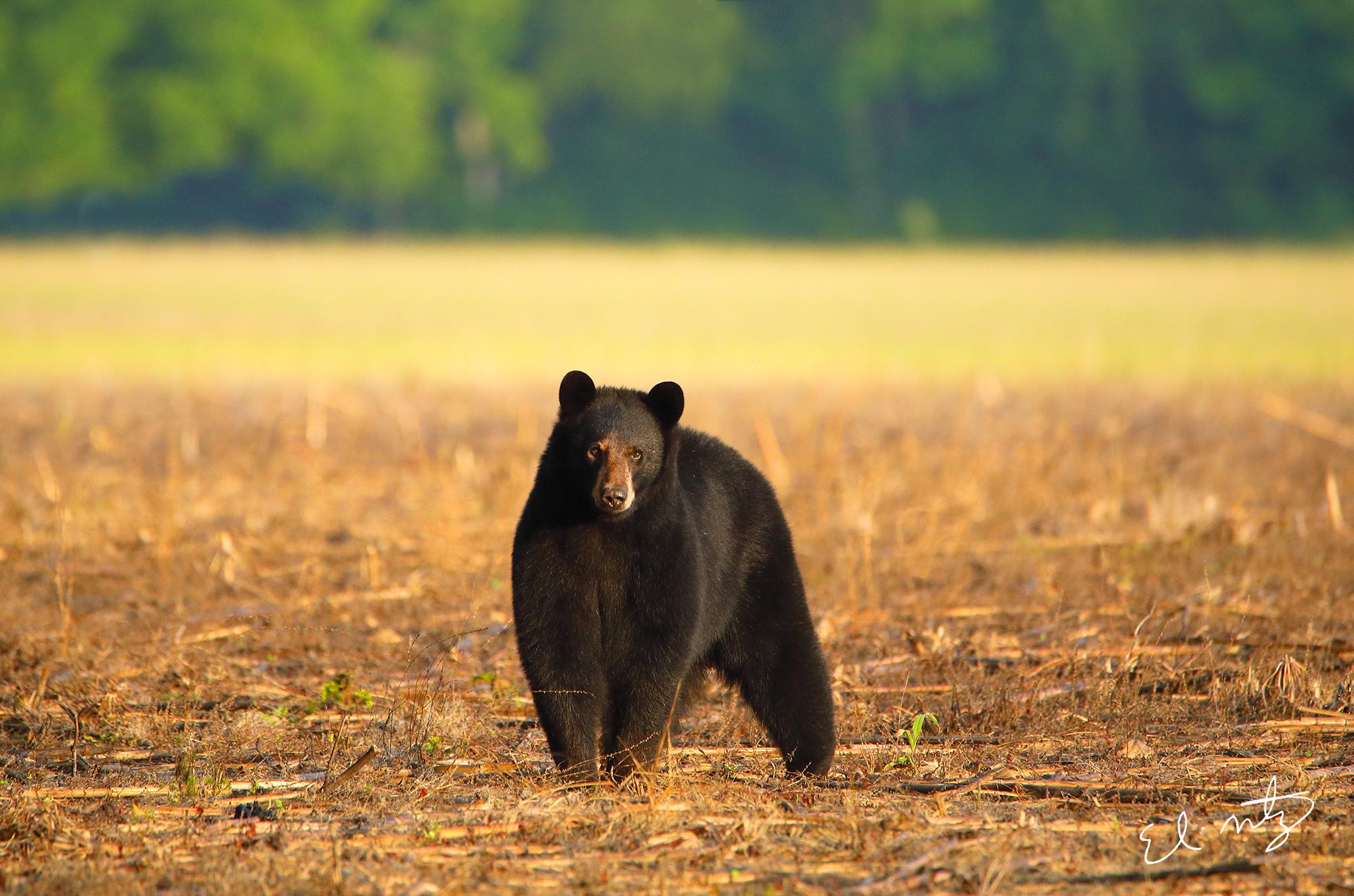 black bear 2.jpg