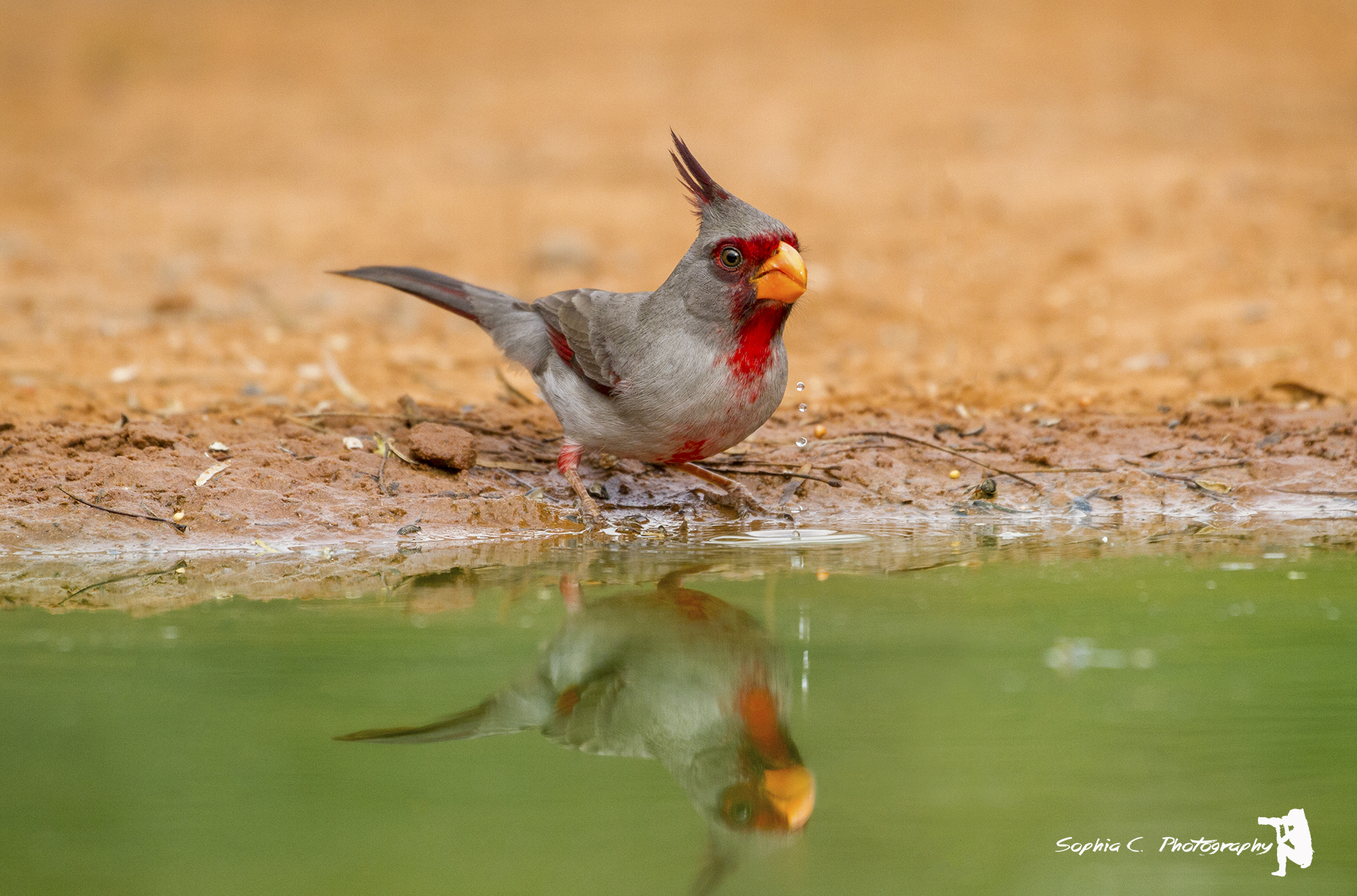 9. Pyrrhuloxia (desert cardinal, off Santa Clara Ranch, Edinburg, Texas.