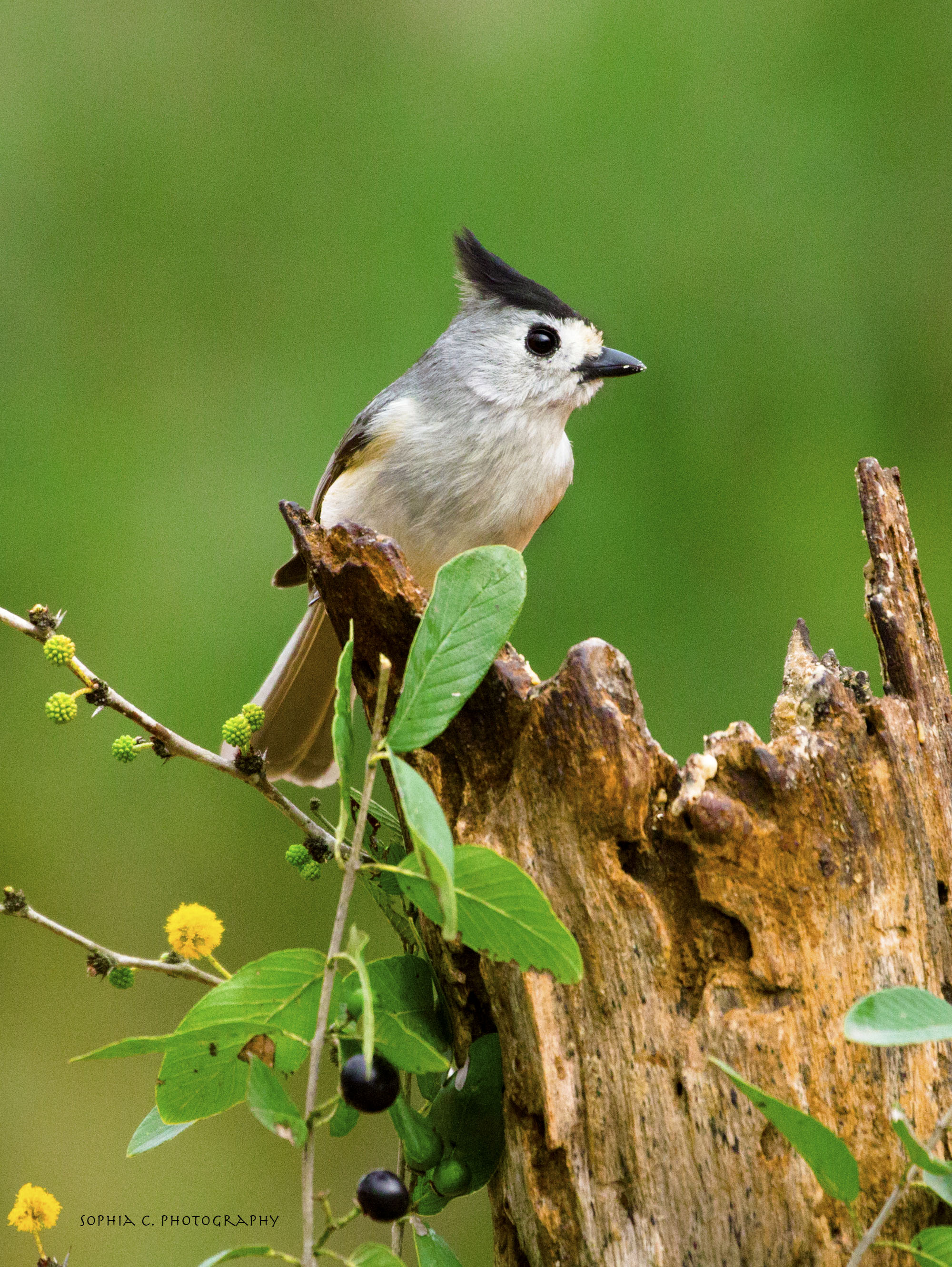4. Black-crested titmouse.