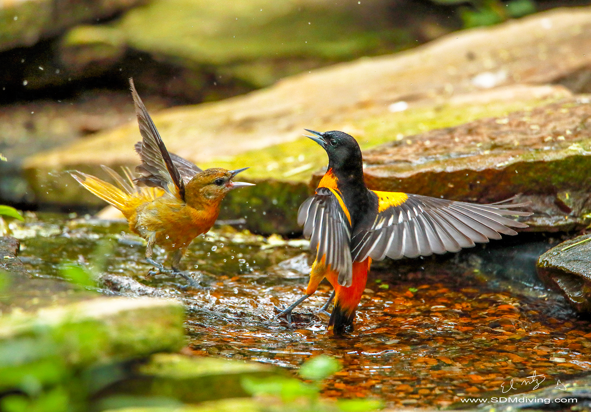 11. Male and Female Orchard Orioles arguing.