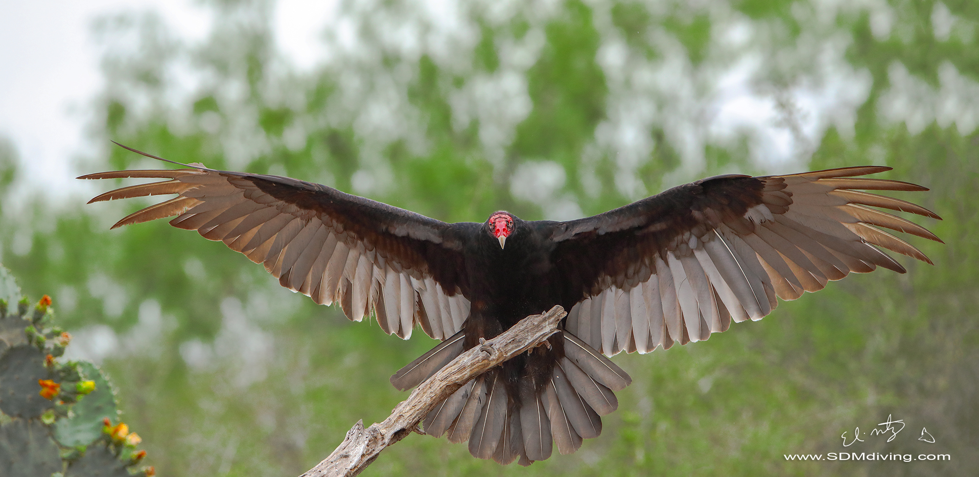 1. Turkey vulture