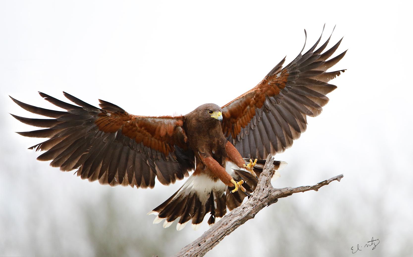 2. Harris Hawk