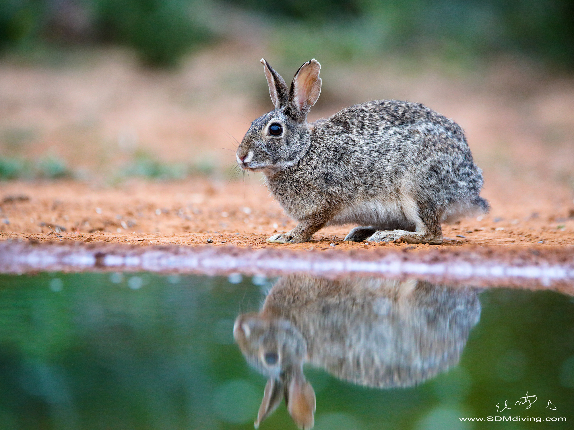5. Eastern Cottontail