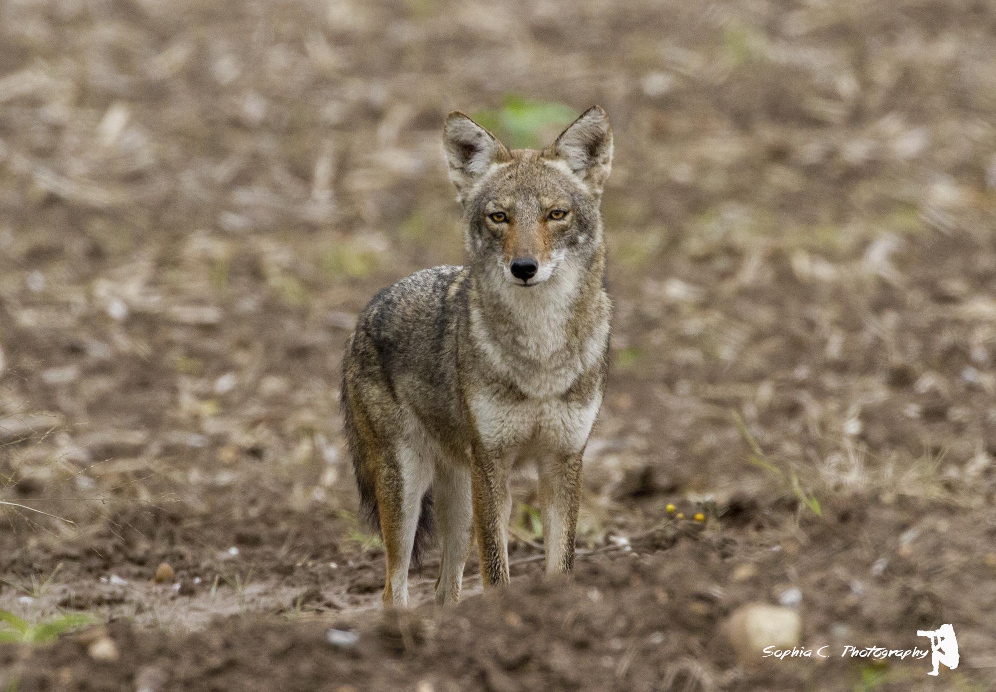 3. Coyote, off Bensten Rio Grande Valley State Park, Texas
