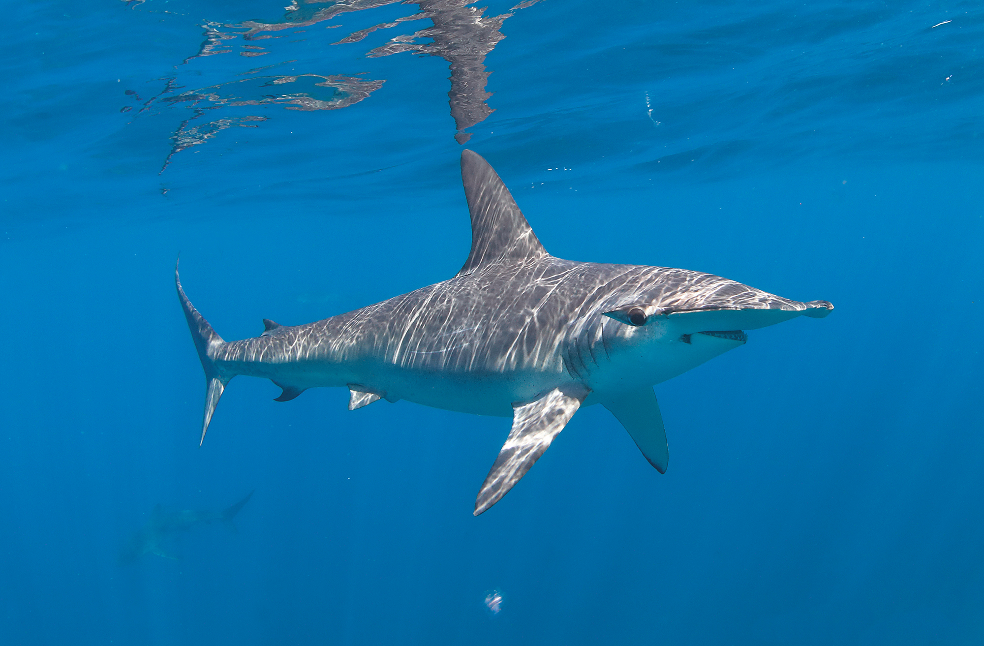 7. Smooth Hammerhead, Baja, Mx.