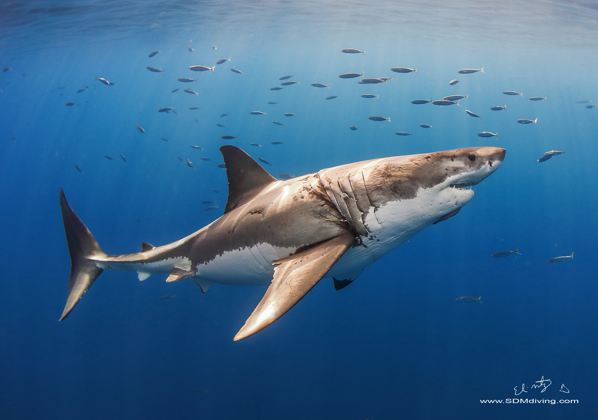 11. Great white shark off Guadalupe Island, Mx.