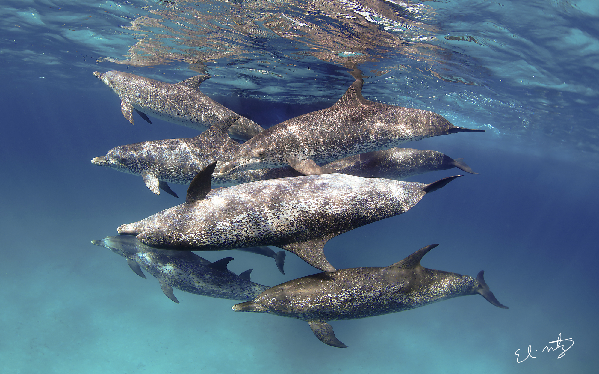 13. Atlantic spotted dolphins off Bimini, Bahamas.