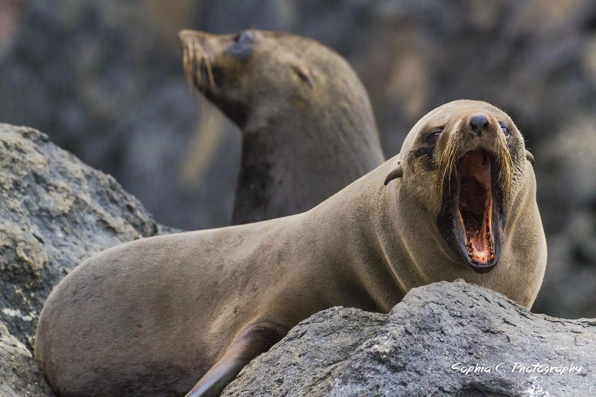 14. Guadalupe fur seal off Guadalupe Island, Mx.