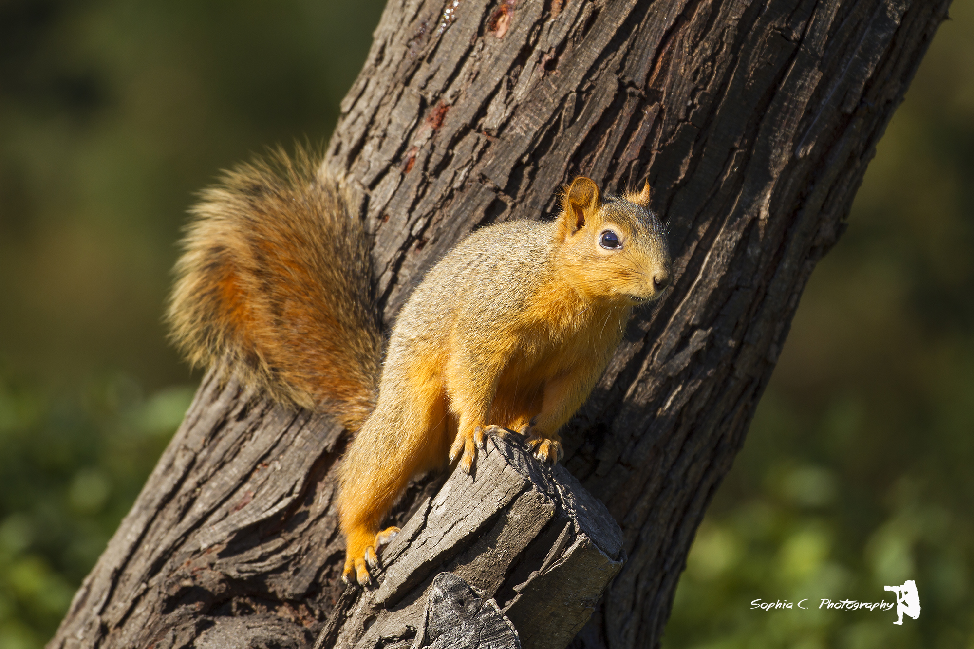6. Fox Squirrel off Bensten Rio Grande Valley State Park, Texas