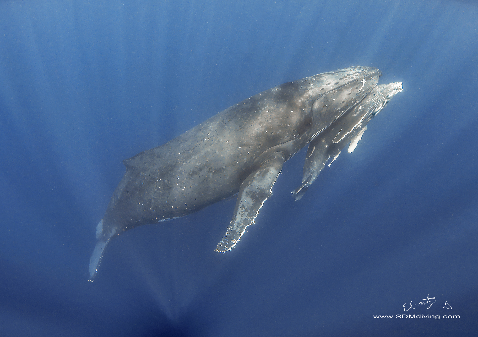15. Humpback Whale, mom and calf off Tonga.
