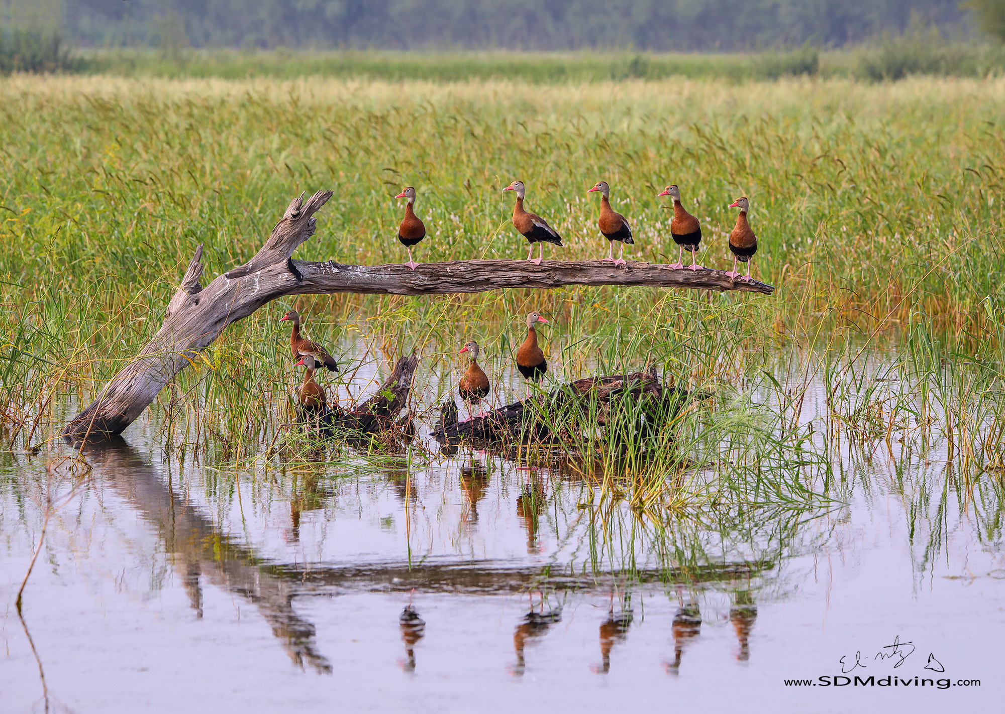 15. Black-bellied whistling ducks, off Santa Anna Wildlife Refuge, Alamo, Texas