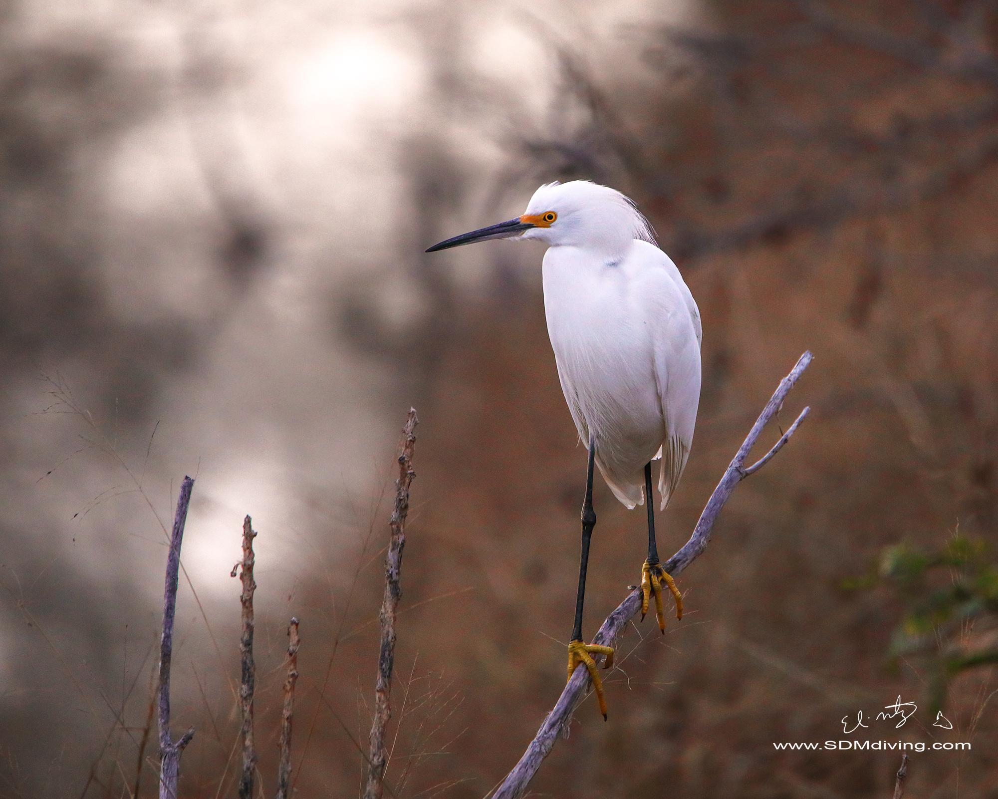 17. Snowy egret, off Edinburg Wetlands, TX.