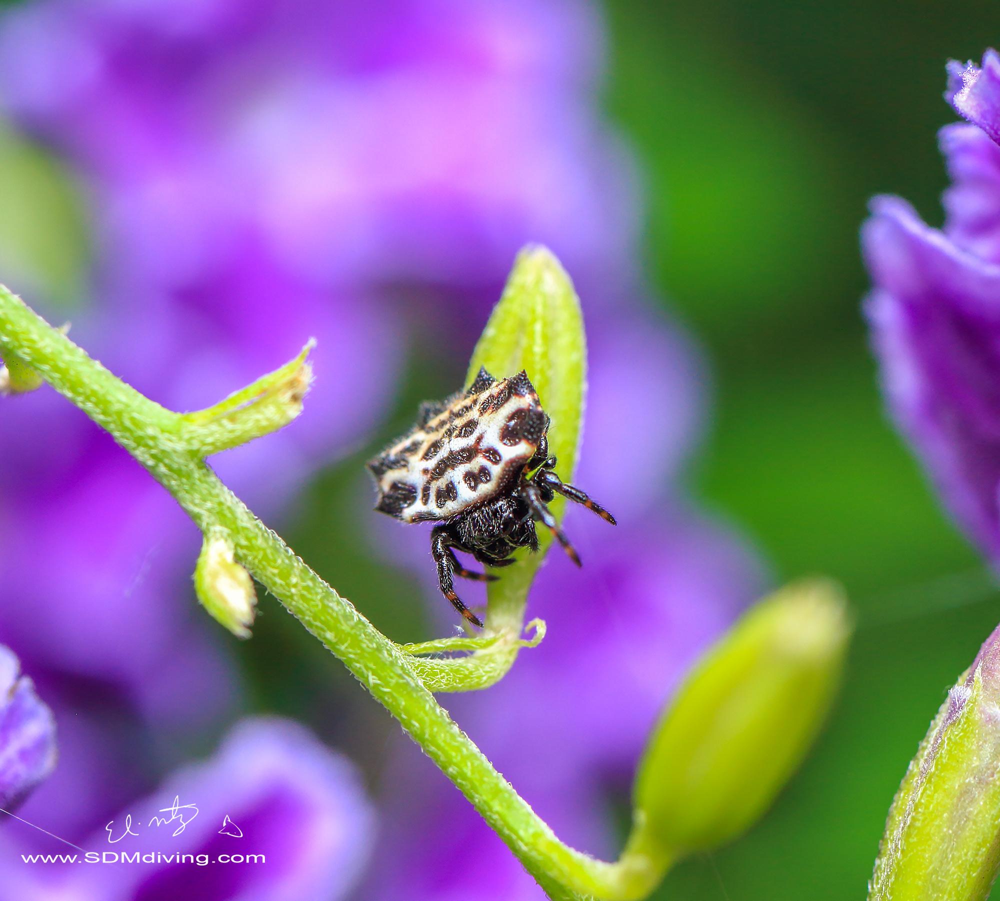 8. Star spider