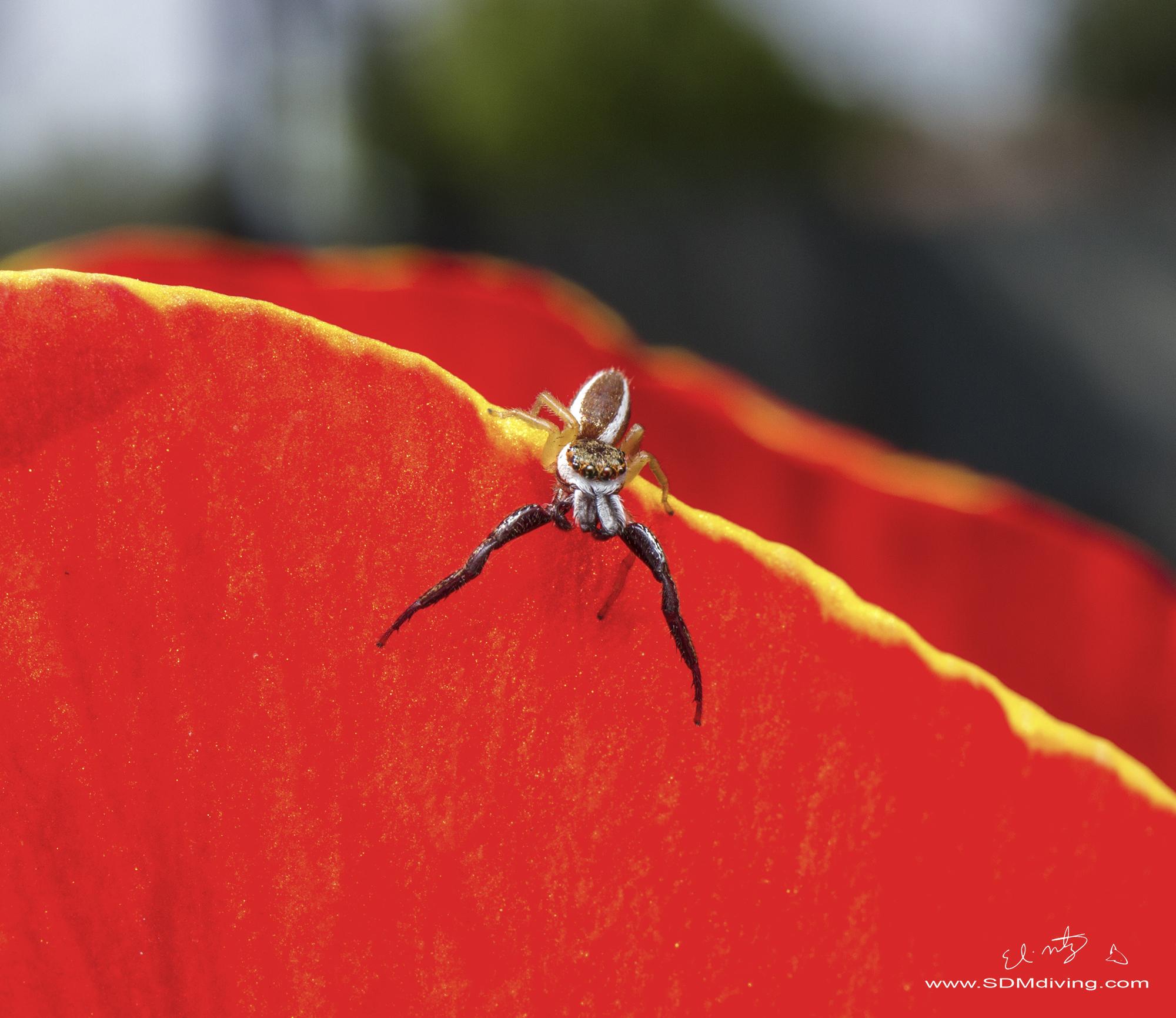 9. Jumping Spider