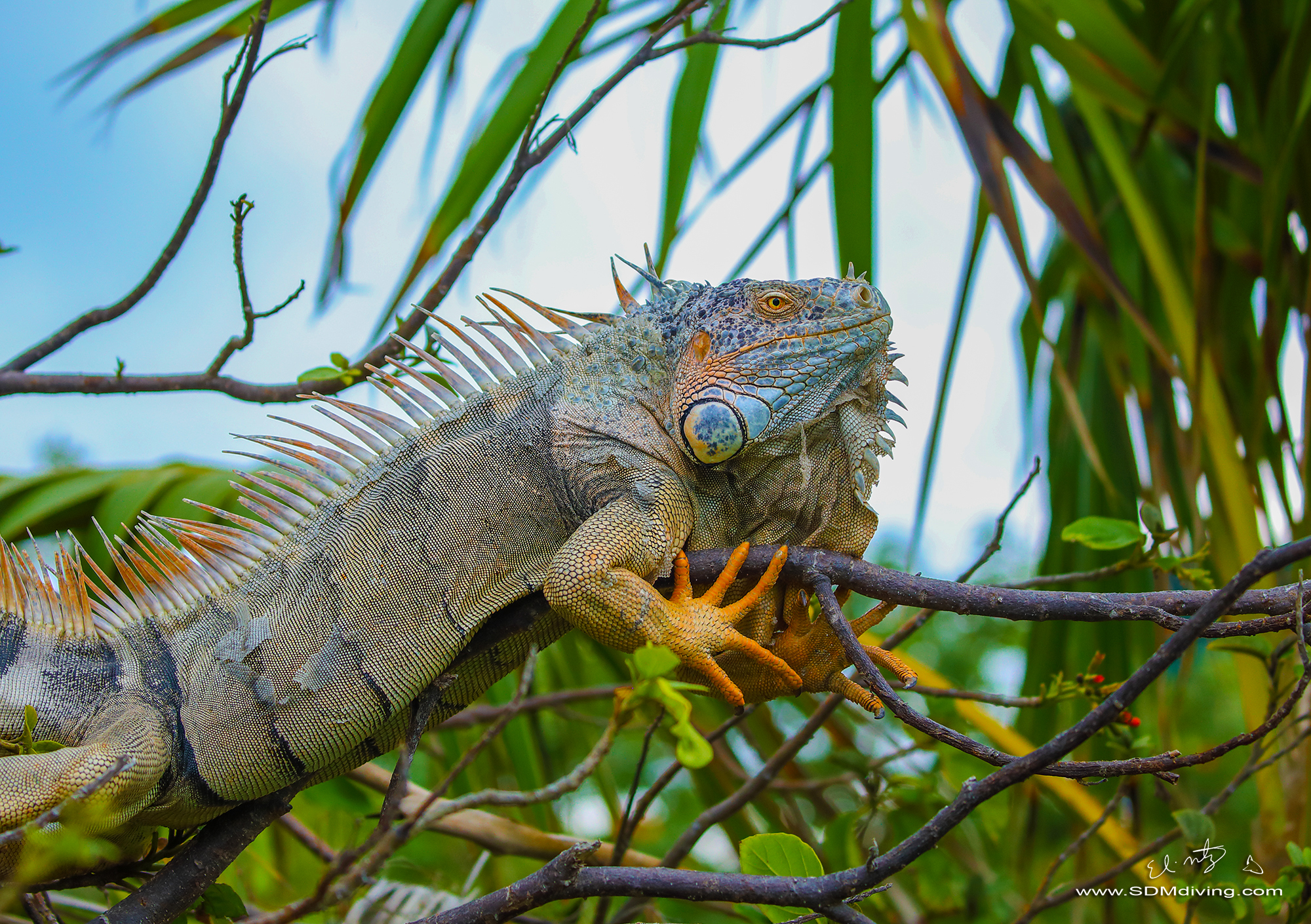 iguana 2.jpg