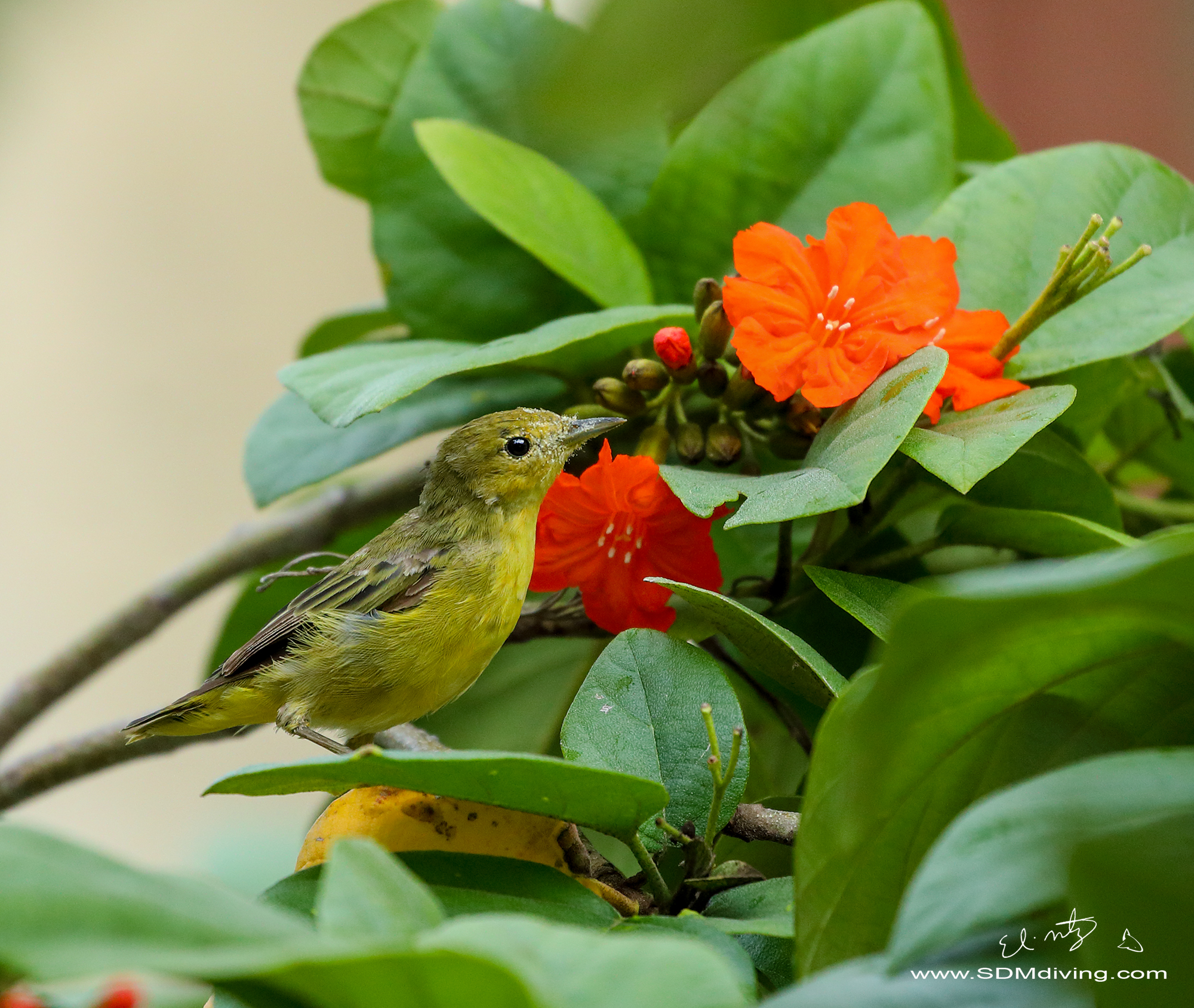 Female mangrove warbler. Below is the male and a pic of the anole.