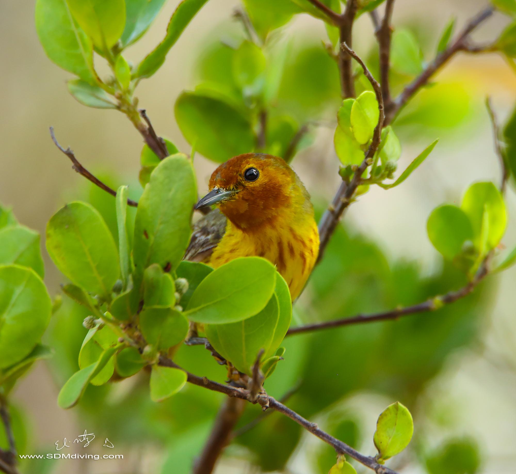 mangrove warbler 3.jpg