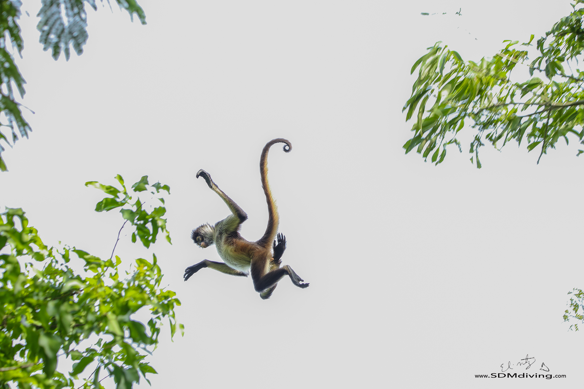 Spider monkey jumping from tree to tree.