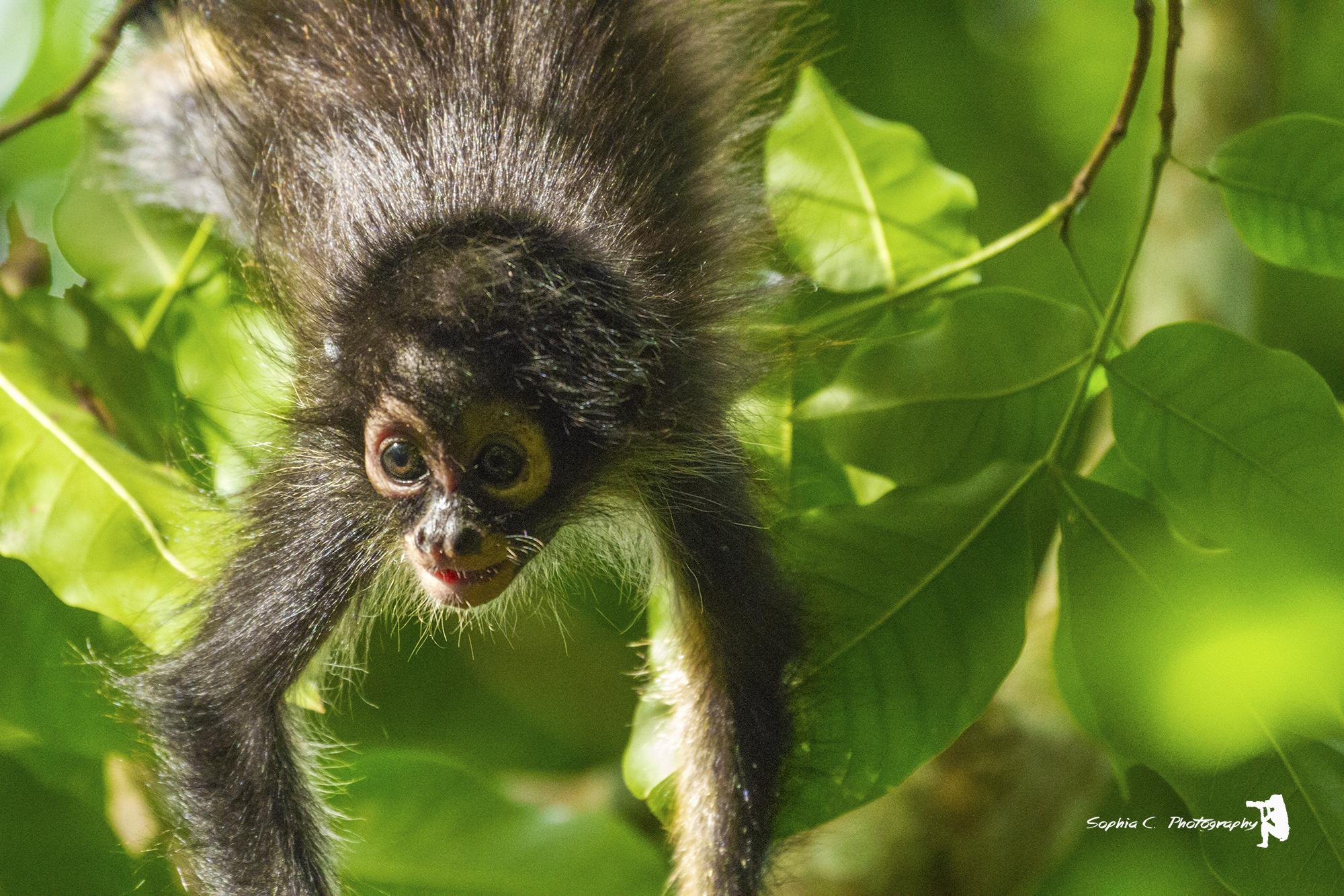 baby spider monkey.jpg