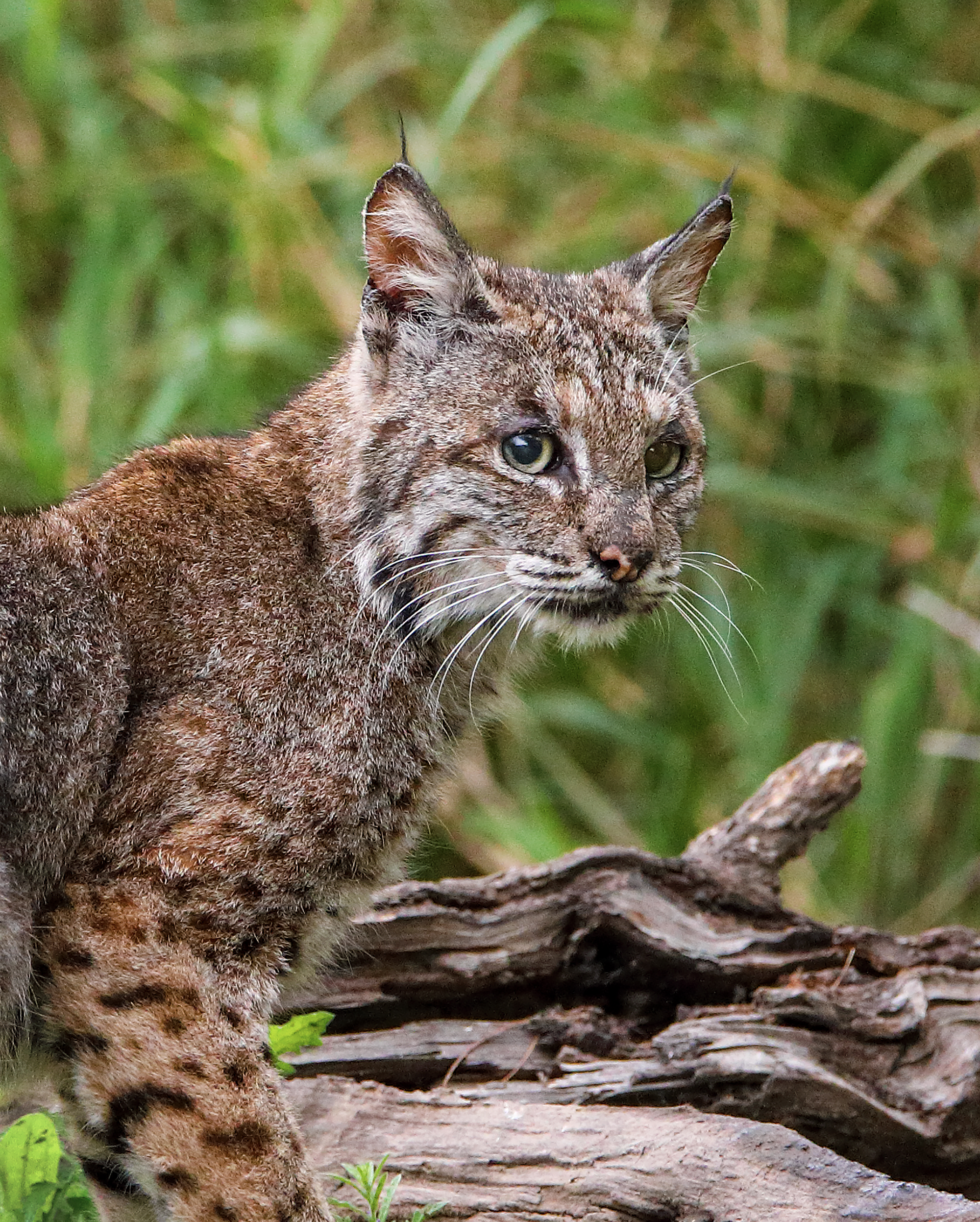4. Bobcat close up, off Bensten Rio Grande Valley State Park, Texas