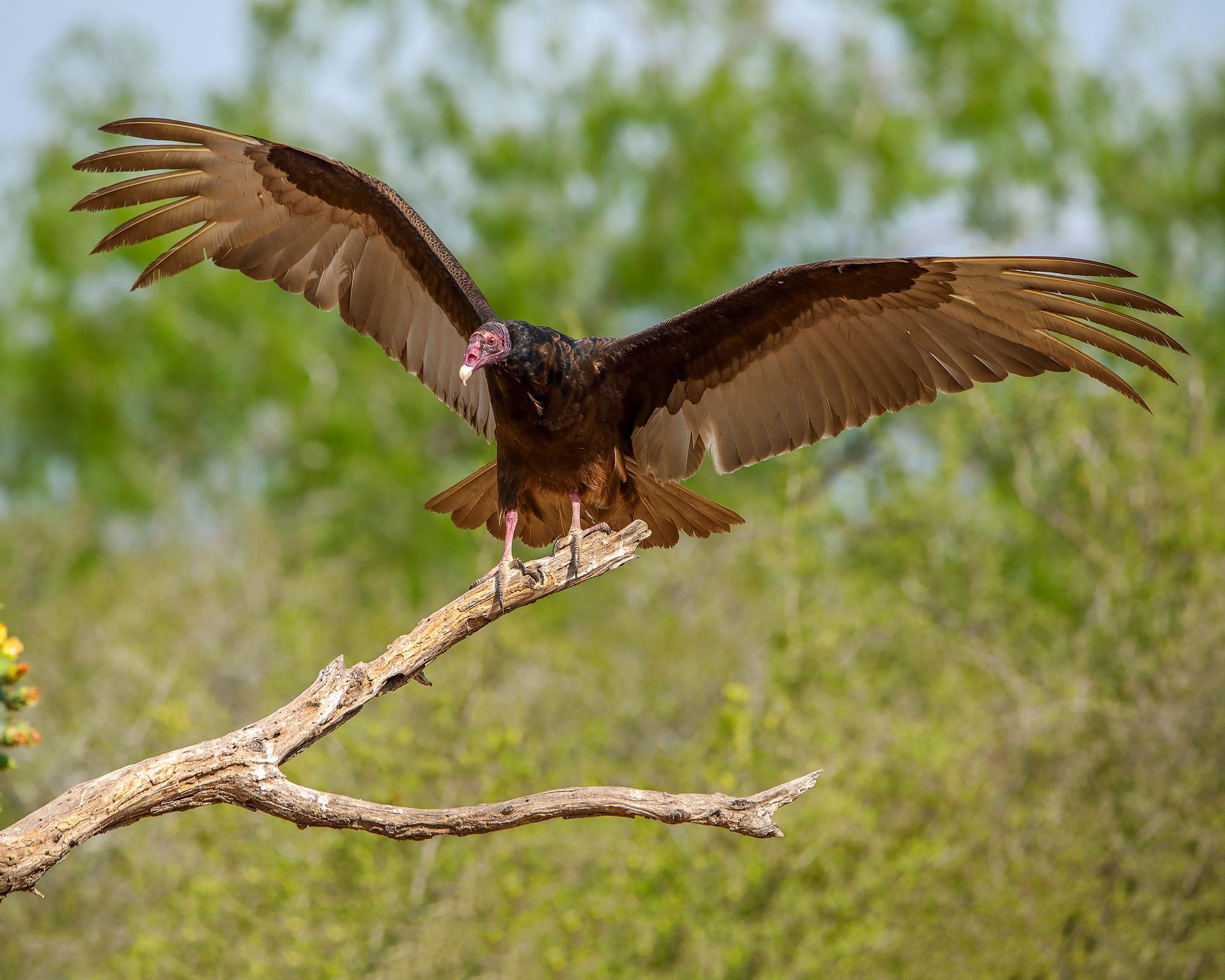 10. Turkey Vulture off Martin Refuge, Mission, Texas
