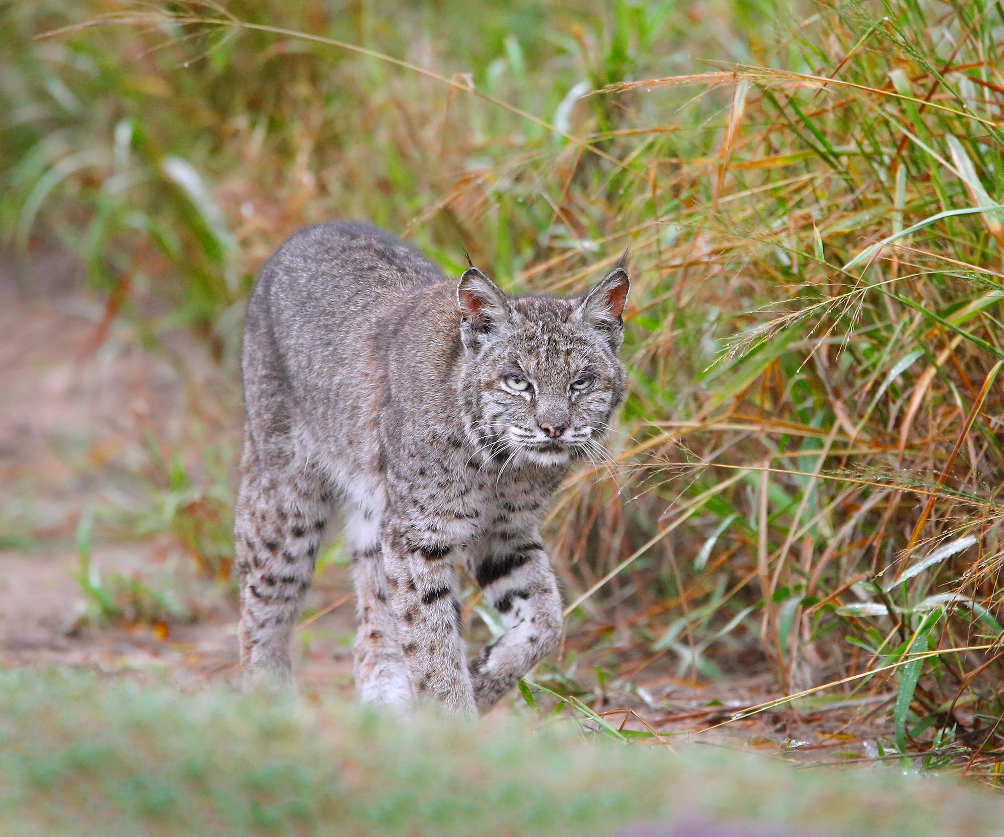 13. Bobcat, off Bensten Rio Grande Valley State Park, Texas